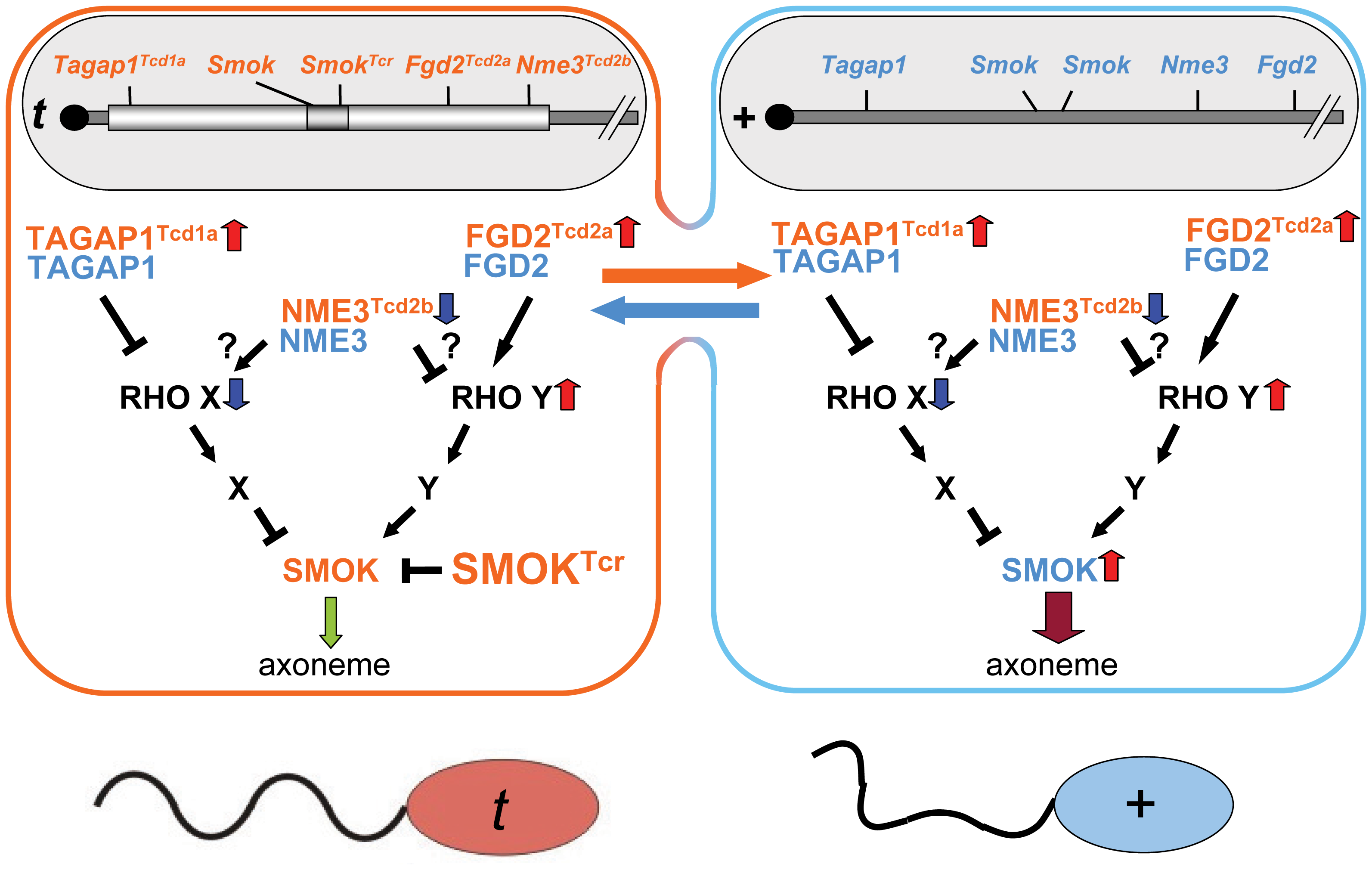 Model of the role of NME3 in <i>t</i>-haplotype transmission ratio distortion.