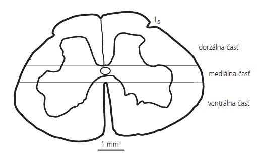 Schematický náčrt dolnej lumbálnej miechy (L5), ktorý zobrazuje delenie miechy na dorzálnu, mediálnu a ventrálnu časť.