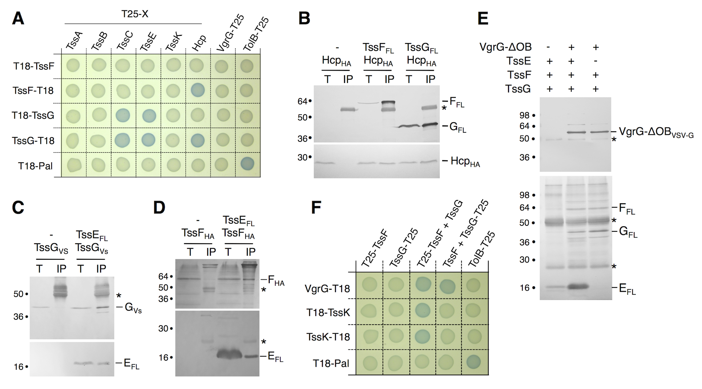 TssF and TssG interact with phage-like T6SS components.