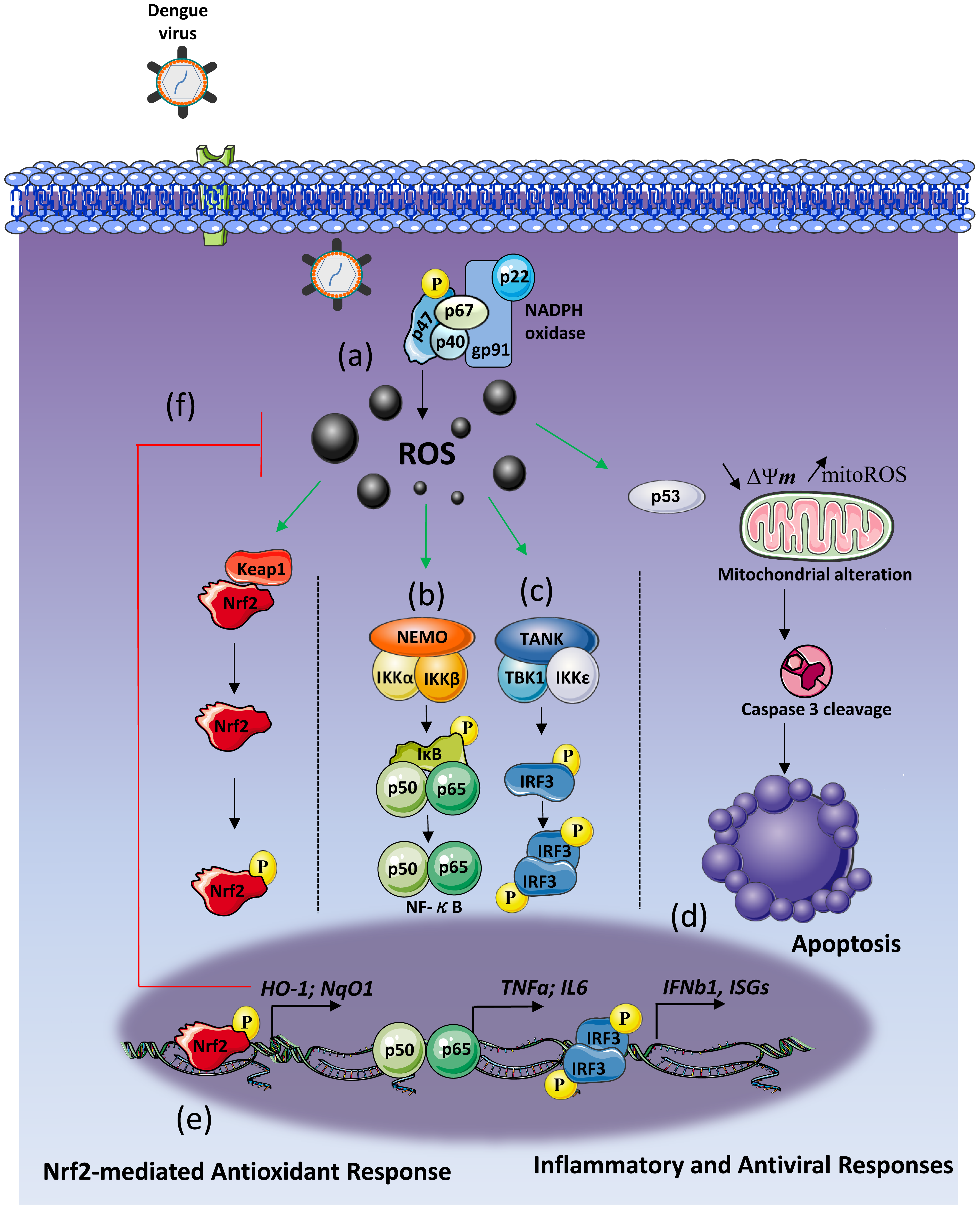 Schematic of DENV induces NOX-dependent ROS production required for antiviral and apoptotic responses.