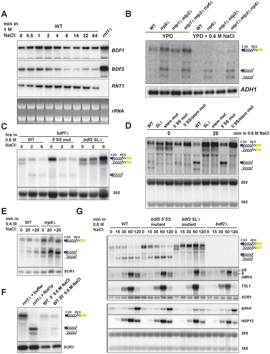 Hyper-activation of Rnt1p cleavage of <i>BDF2</i> mRNA in osmotic stress.