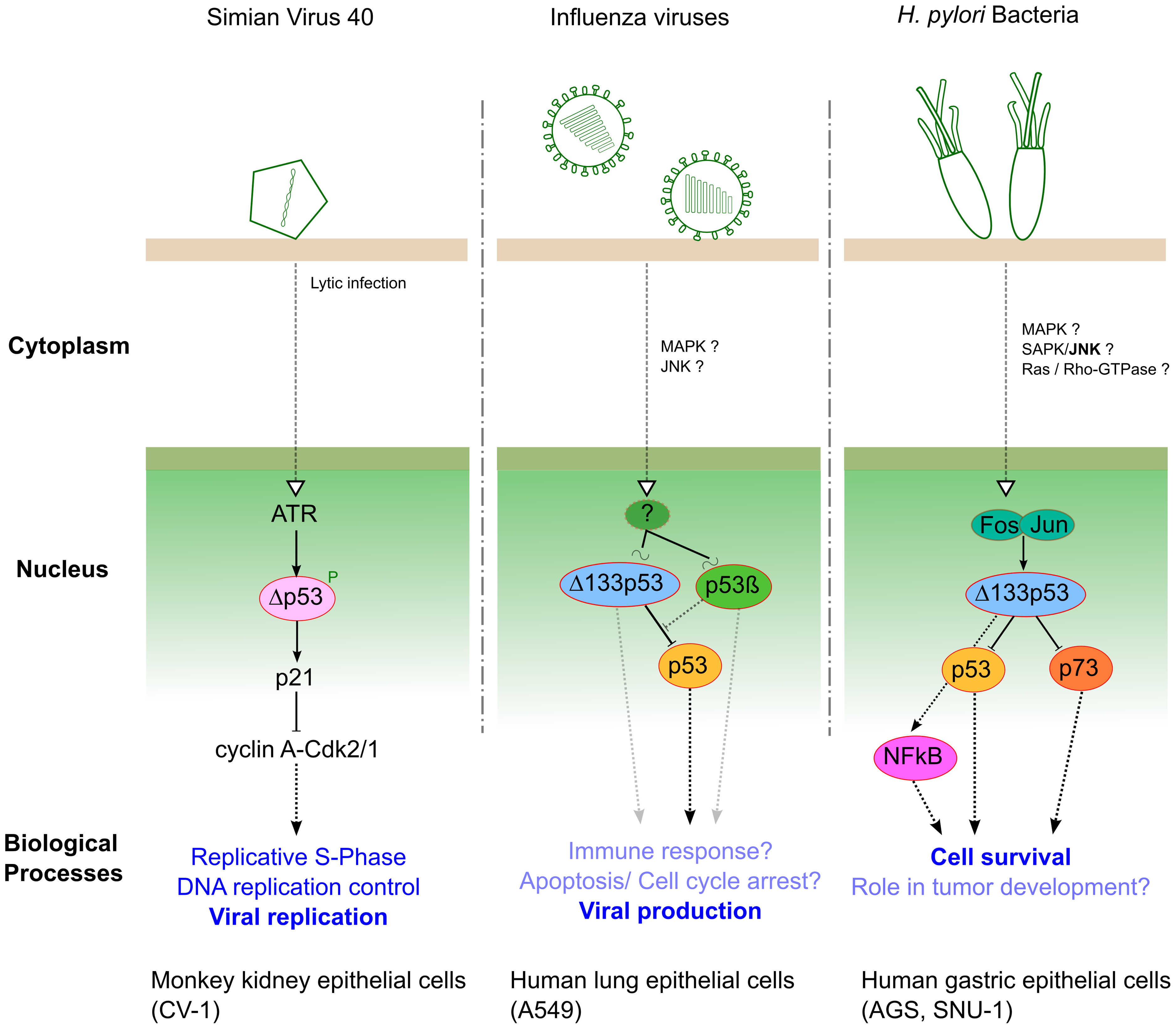 Three different pathogens represent three examples of interplay with p53 isoforms during infection.