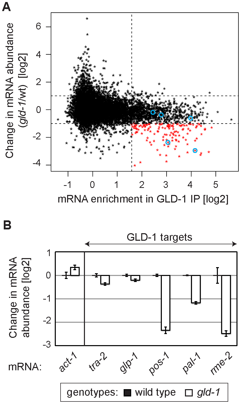 GLD-1 is required for the accumulation of many mRNA targets.