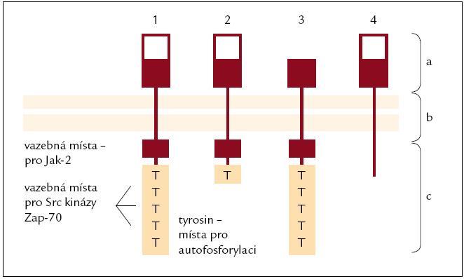 Typy receptoru pro prolaktin (PRL-R). Lidský PRL-R se vyskytuje ve 4 variantách, které vznikají alternativním splicingem. PRL-R se skládá ze 3 domén: a) extracelulární; b) transmembránová; c) cytoplazmatická <ol><li>Dlouhá varianta: Je nejčastější a schopná aktivovat všechny intracelulární cesty, vyskytuje se ve všech lymfatických orgánech (kostní dřeni, lymfatických uzlinách, thymu i slezině) i na leukocytech v cirkulaci.</li> <li>Střední varianta: Zachována schopnost aktivace intracelulárních cest spojených s JAK-2, omezená schopnost aktivovat Src kinázy. Převážně je exprimována ve slezině, kostní dřeni, omezeně v lymfatických uzlinách (LU) a minimálně v thymu a periferních lymfocytech.</li> <li>ΔS varianta: Omezená vazba prolaktinu, avšak rychlejší schopnost aktivovat intracelulární cesty. Pouze 1/3 všech PRL-R je tato varianta, vyskytuje se omezeně v LU, slezině, thymu i leukocytech v cirkulaci, minimálně v kostní dřeni.</li> <li>PRL-BP: PRL-vázající peptid je schopen PRL vázat, nikoli spustit intracelulární cesty. Vyskytuje se sporadicky.</li></ol>