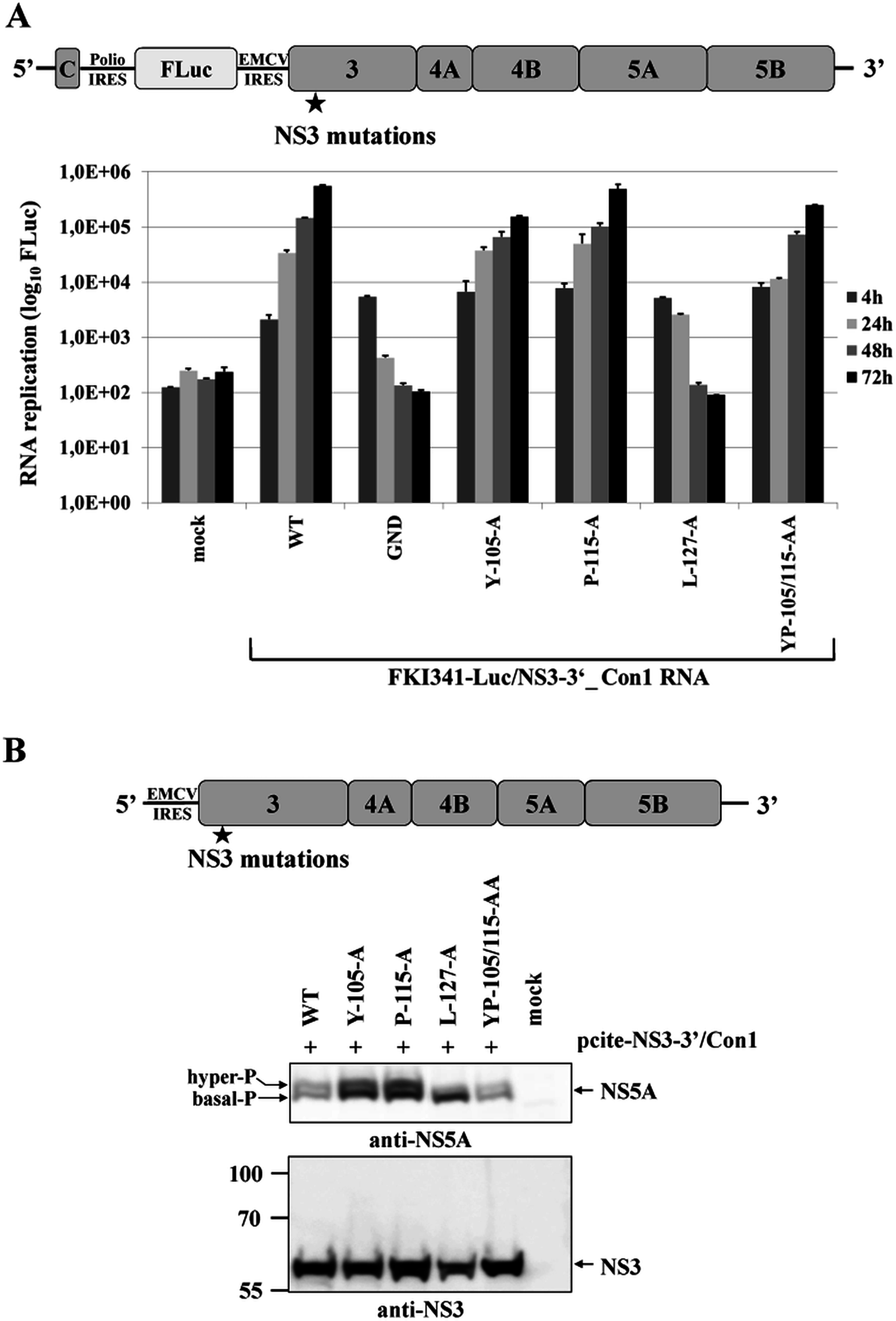 NS3-L127A inhibits RNA replication and suppresses NS5A hyperphosphorylation in the context of a HCV genotype 1b NS3-5B replicon.