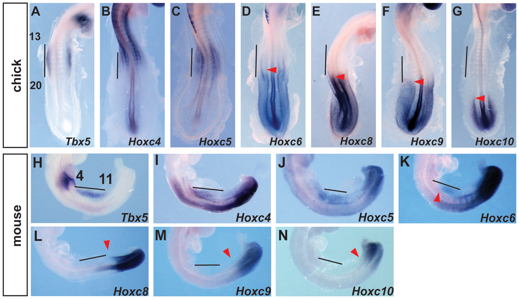 Comparison of <i>Tbx5</i> and <i>HoxC</i> gene expression domains.