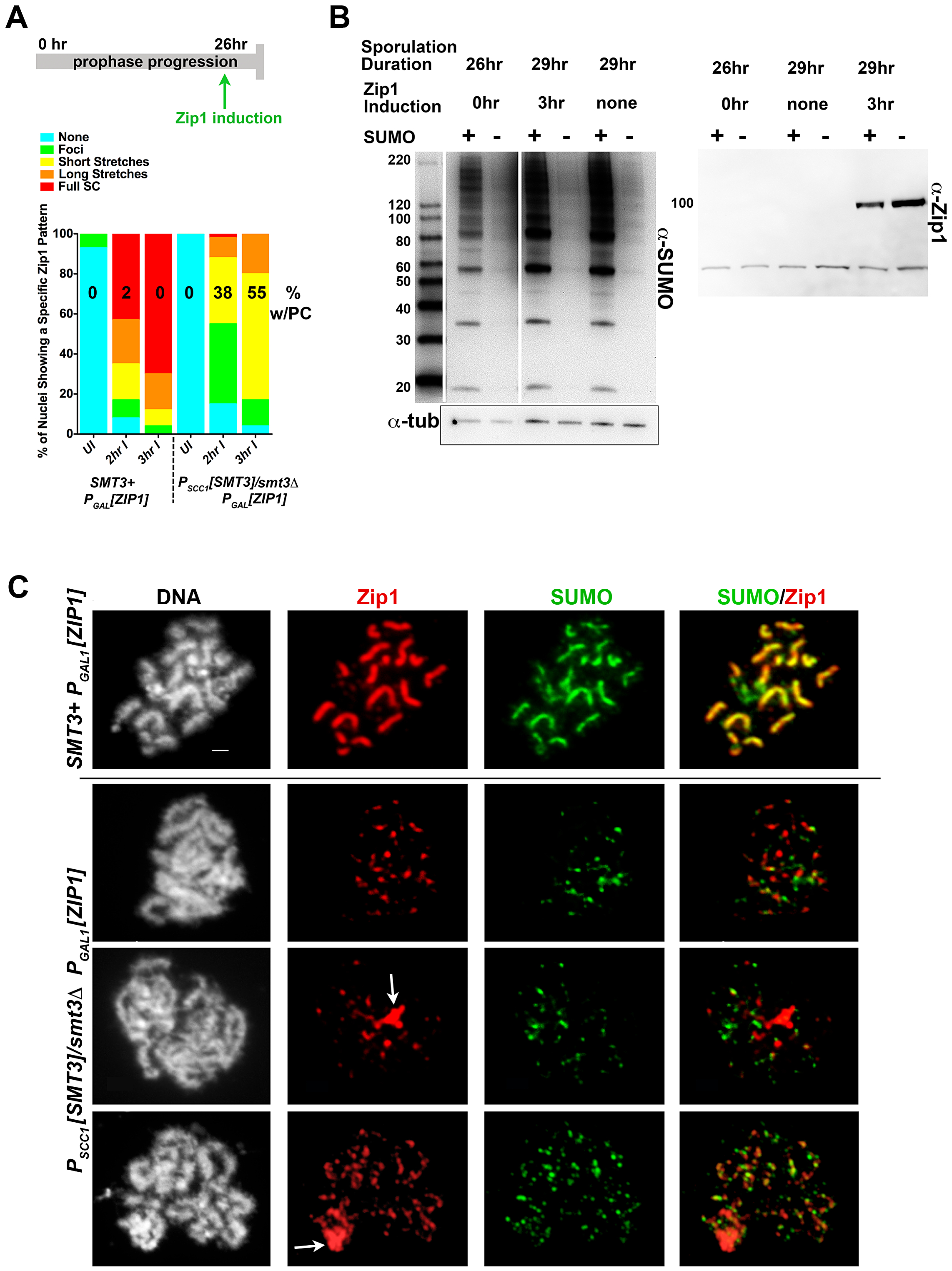 Induced Zip1 assembles full SC stretches in a SUMO-dependent manner.