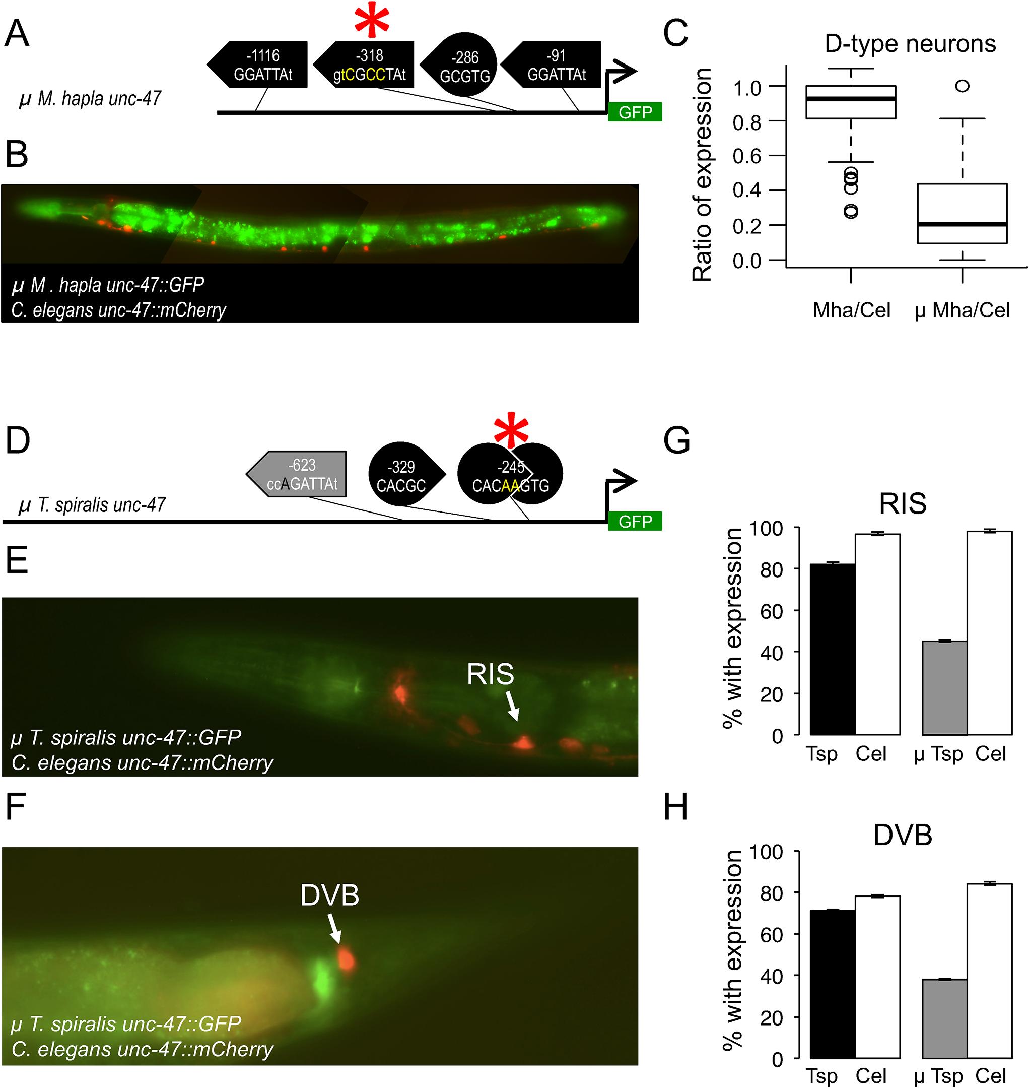 Mutations in putative transcription factor binding sites disrupt <i>cis</i>-regulatory functions.