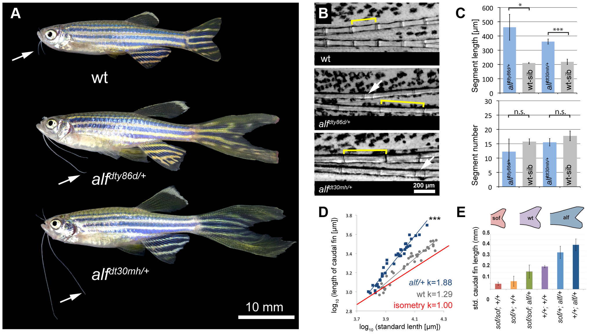 <i>alf</i> mutants lead to an increase in size of the appendages of adult fish.
