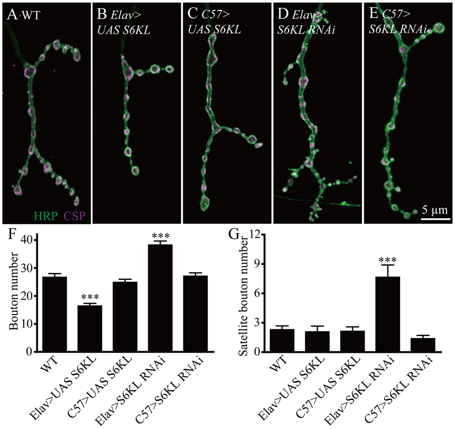 S6KL functions presynaptically in regulating NMJ growth.