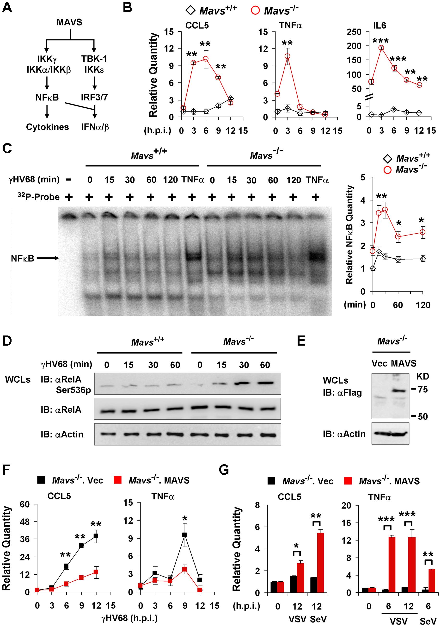 γHV68 abrogates NFκB activation in a MAVS-dependent manner.