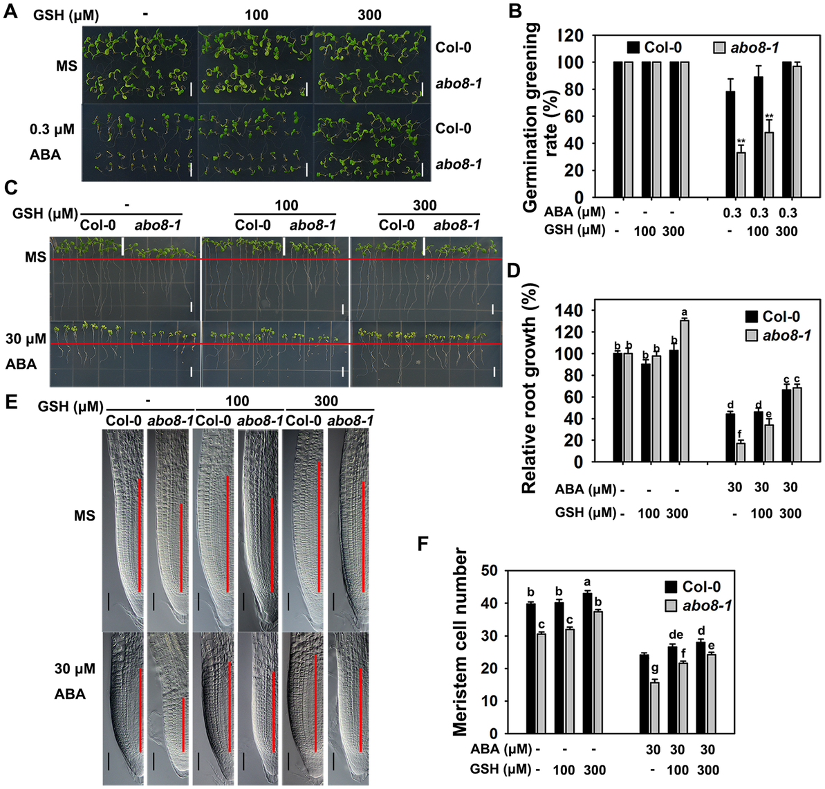 Addition of GSH partially recovers the ABA-hypersensitive phenotypes of <i>abo8-1</i> mutants.