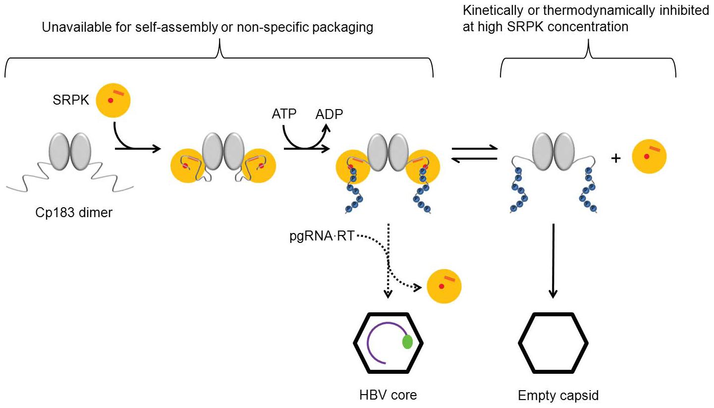 Scheme describing SRPK-gated mechanism of HBV core and capsid assembly.