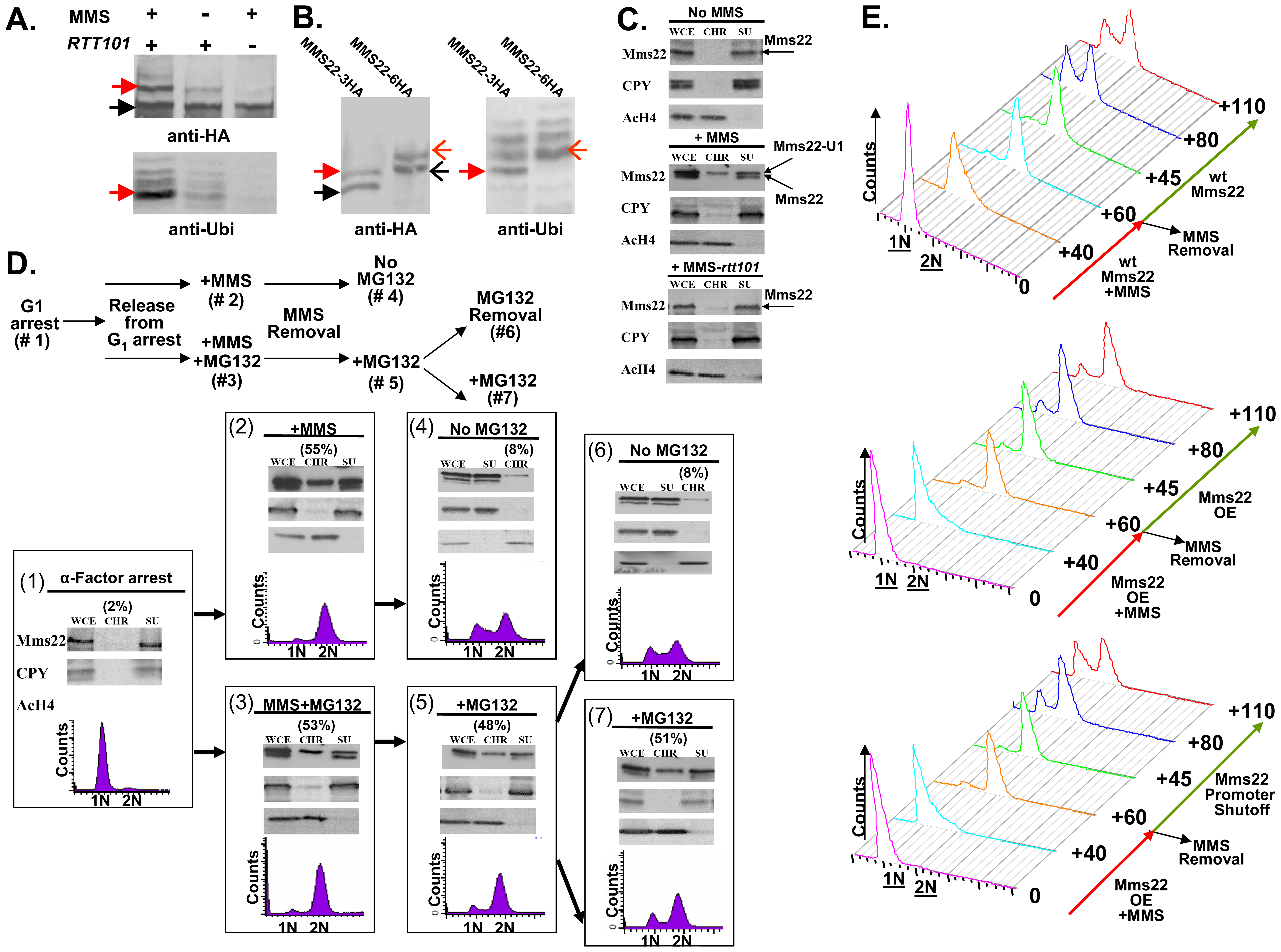 Ubiquitination of Mms22 is induced by DNA damage in a <i>RTT101</i> dependent manner; Mms22 is recruited to chromatin upon DNA damage in a <i>RTT101</i> dependent manner; degradation of Mms22 from chromatin is associated with exit from the DNA damage induced G<sub>2</sub>/M arrest.