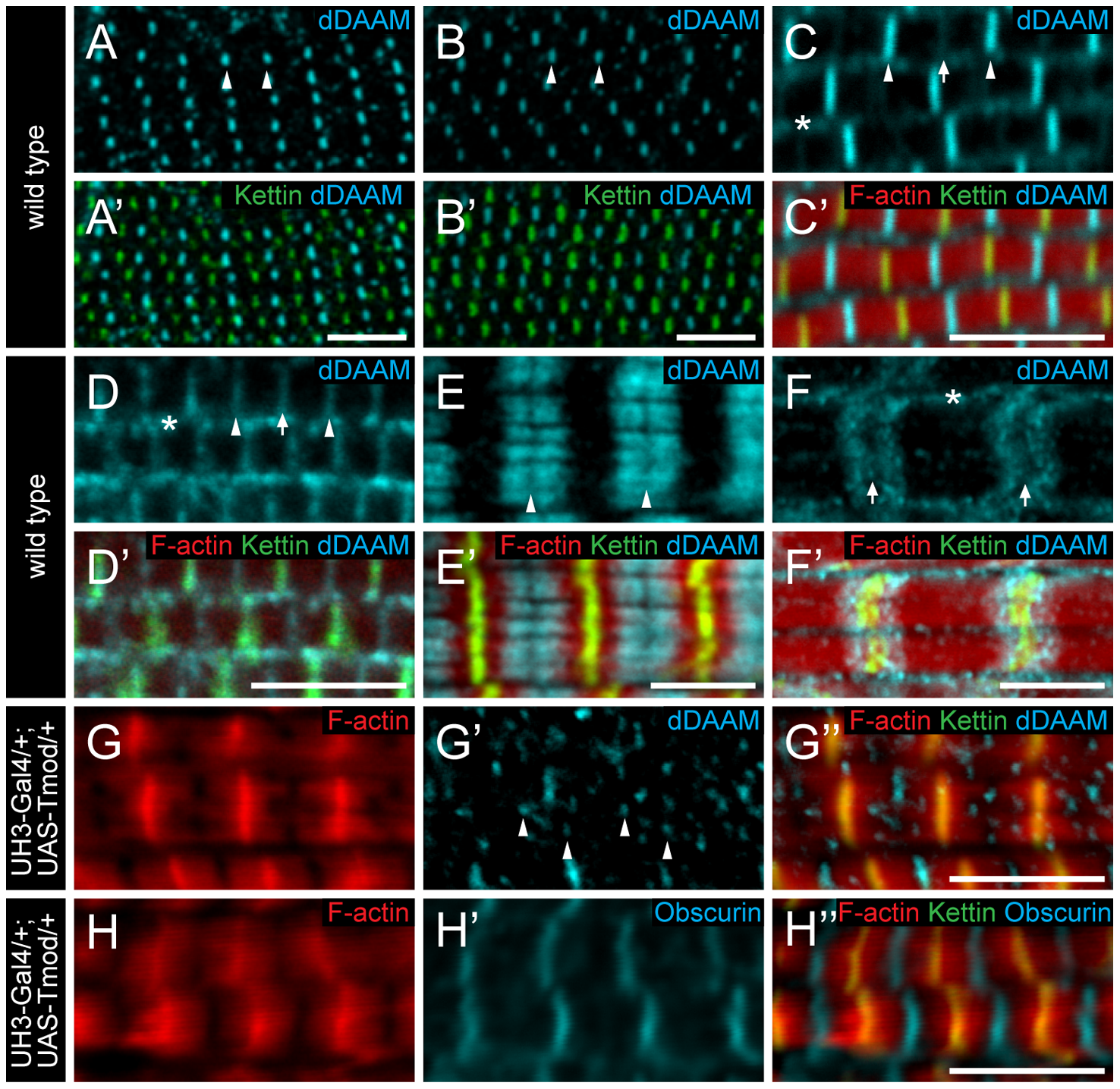 Sarcomeric localization of the dDAAM protein in the IFM and the larval body wall muscles.