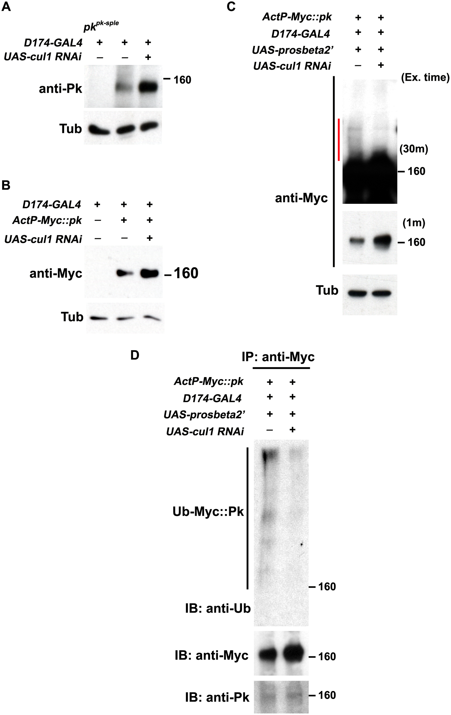 Pk protein level is regulated by Cul1-mediated ubiquitinylation and proteasomal degradation.