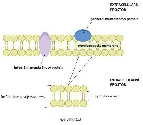 Struktura cytoplazmatické membrány a umístění periferních a integrálních membránových proteinů. Cytoplazmatická membrána je tvořena dvěma fosfolipidovými vrstvami. Jejich hydrofobní vnitřní část je tvořena řetězci mastných kyselin a polární část představují hydrofi lní hlavičky fosfolipidů. Integrální (transmembránové) proteiny interagují s hydrofobní částí fosfolipidové membrány, periferní membránové proteiny s touto částí neinteragují.