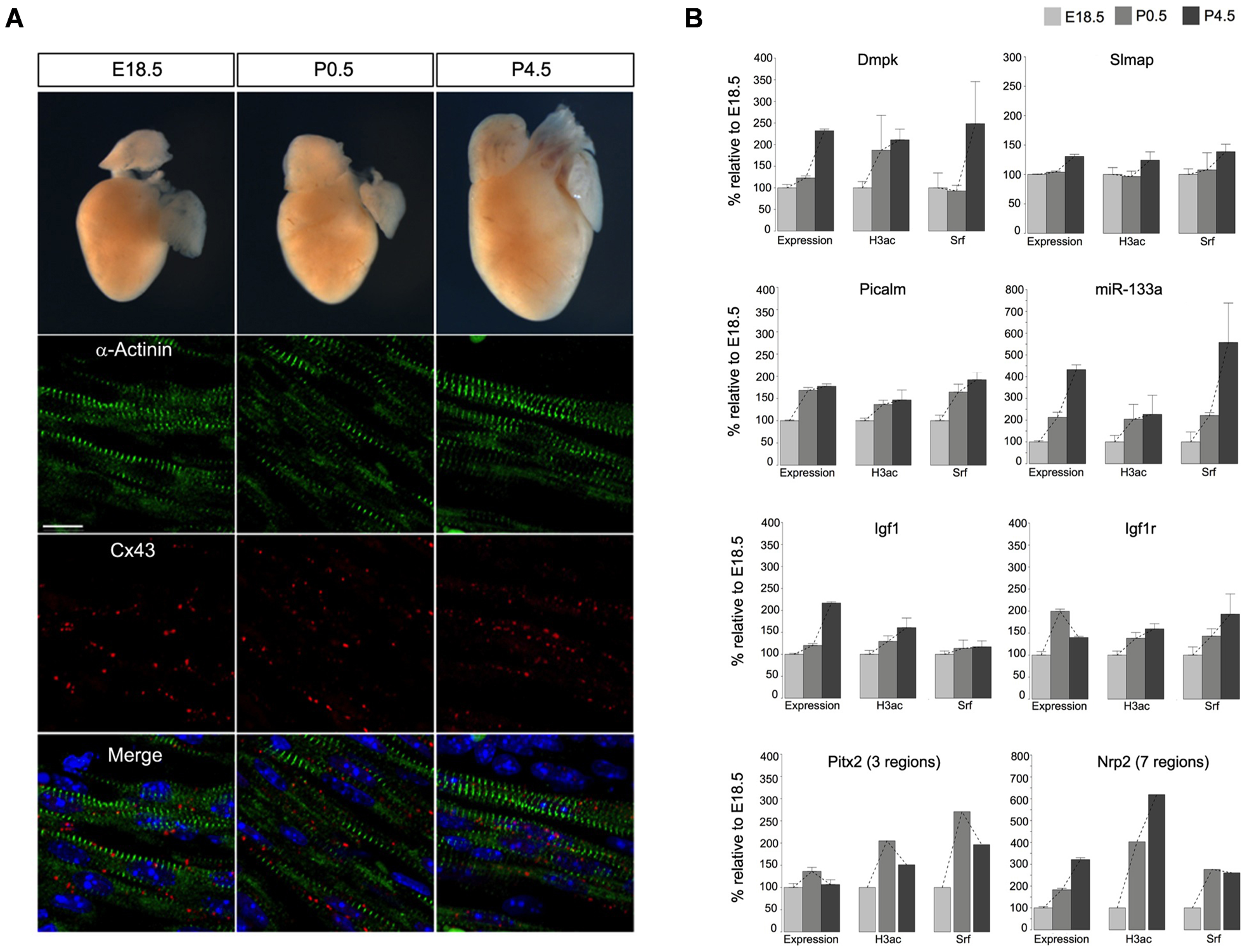 The impact of Srf and H3ac on gene expression in mouse hearts during cardiac maturation.
