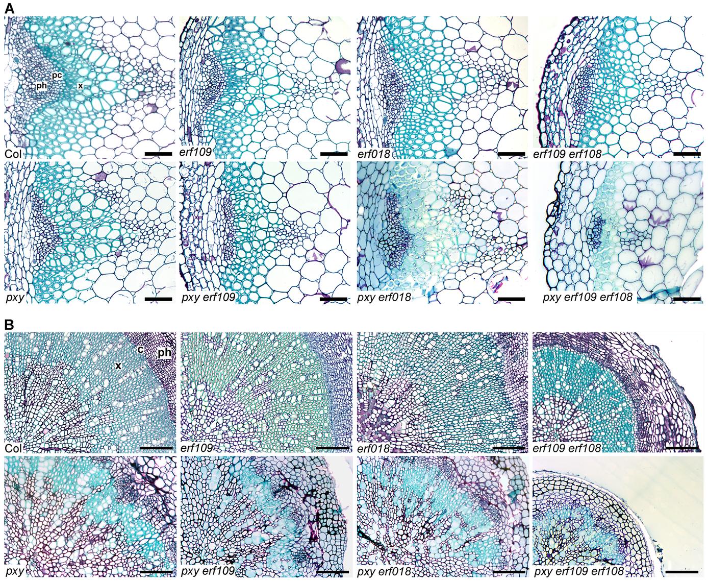 <i>pxy</i> interacts with <i>erf</i> transcription factors.