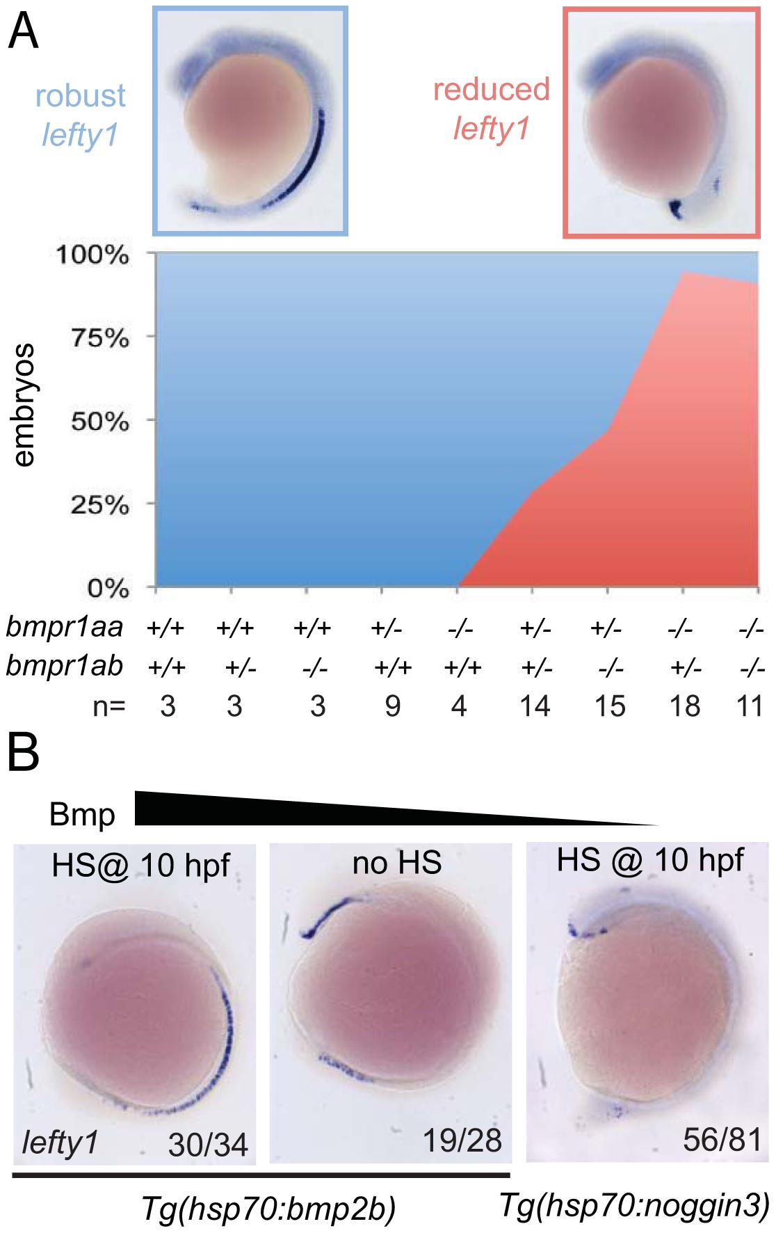 Bmp via Bmpr1a regulates <i>lefty1</i> expression in the midline.