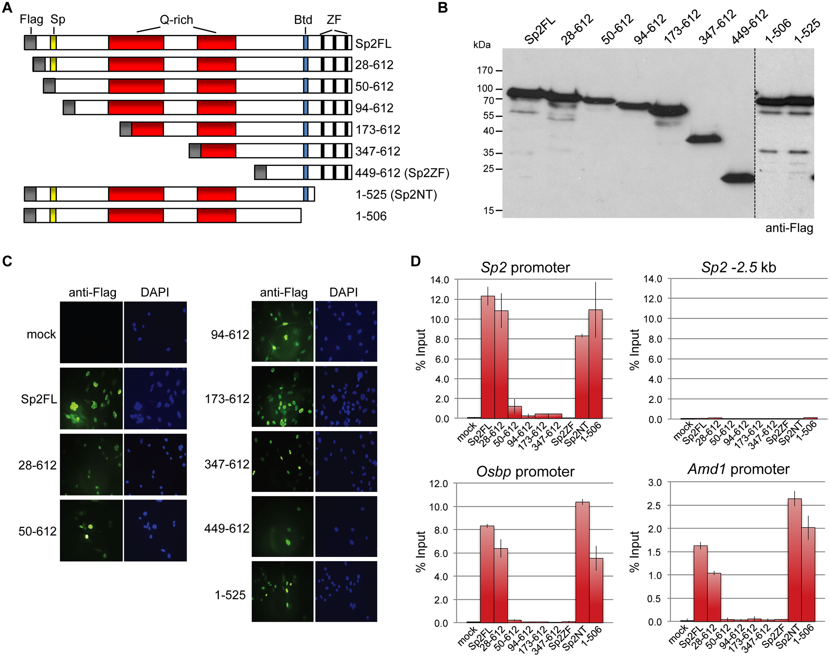 Binding of Sp2 deletion mutants to selected target promoters.
