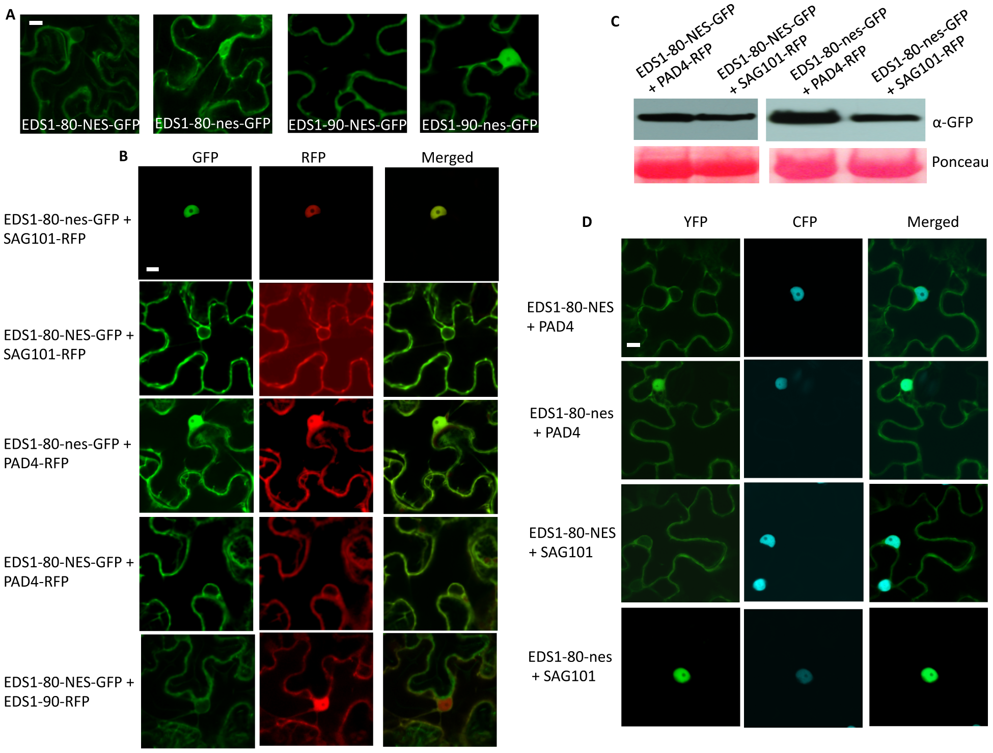 EDS1-NES exhibits extranuclear interaction with SAG101.