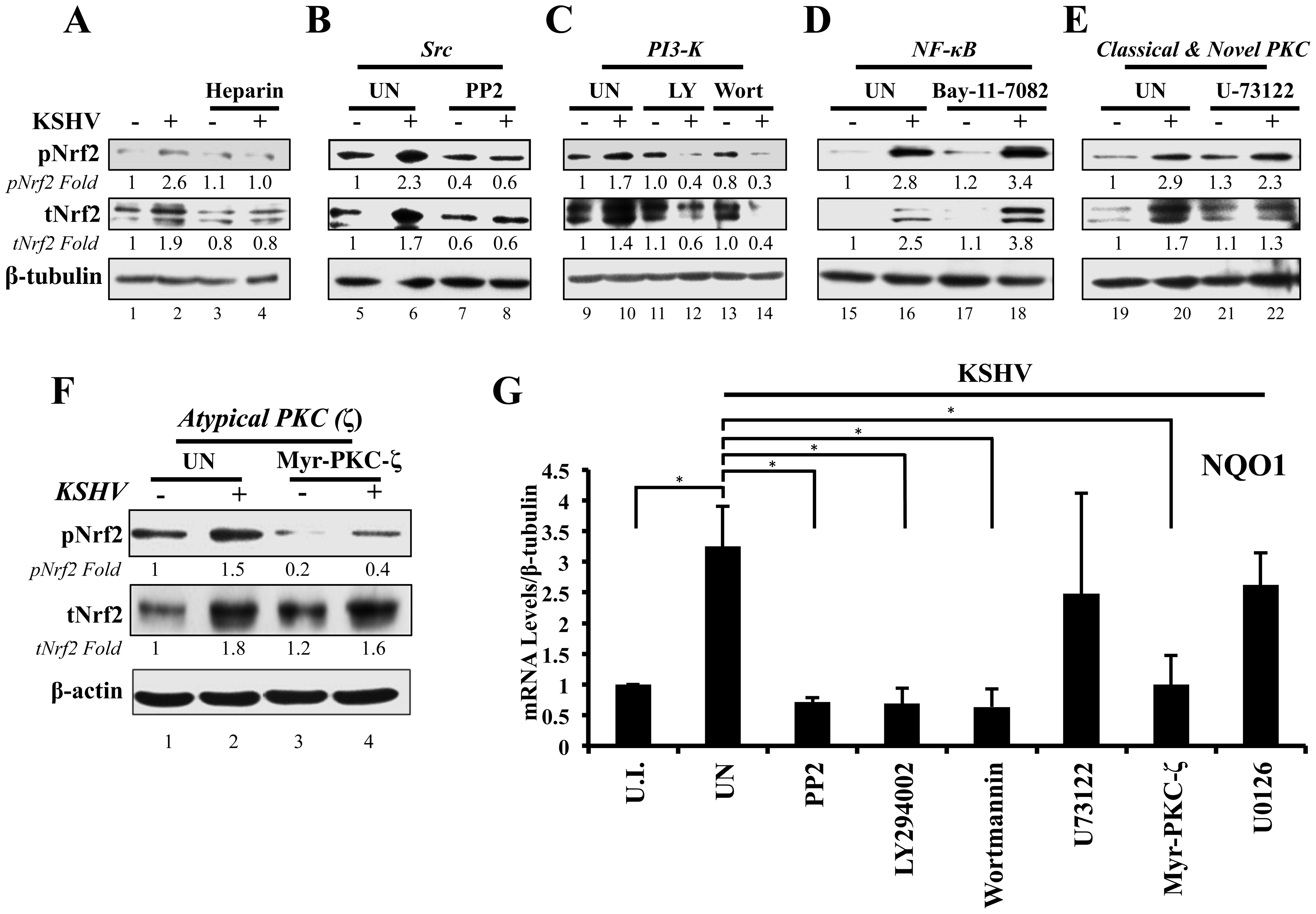 Inhibition of virus binding, Src, PI3-K and PKC-ζ and their effect on KSHV-mediated Nrf2 induction.
