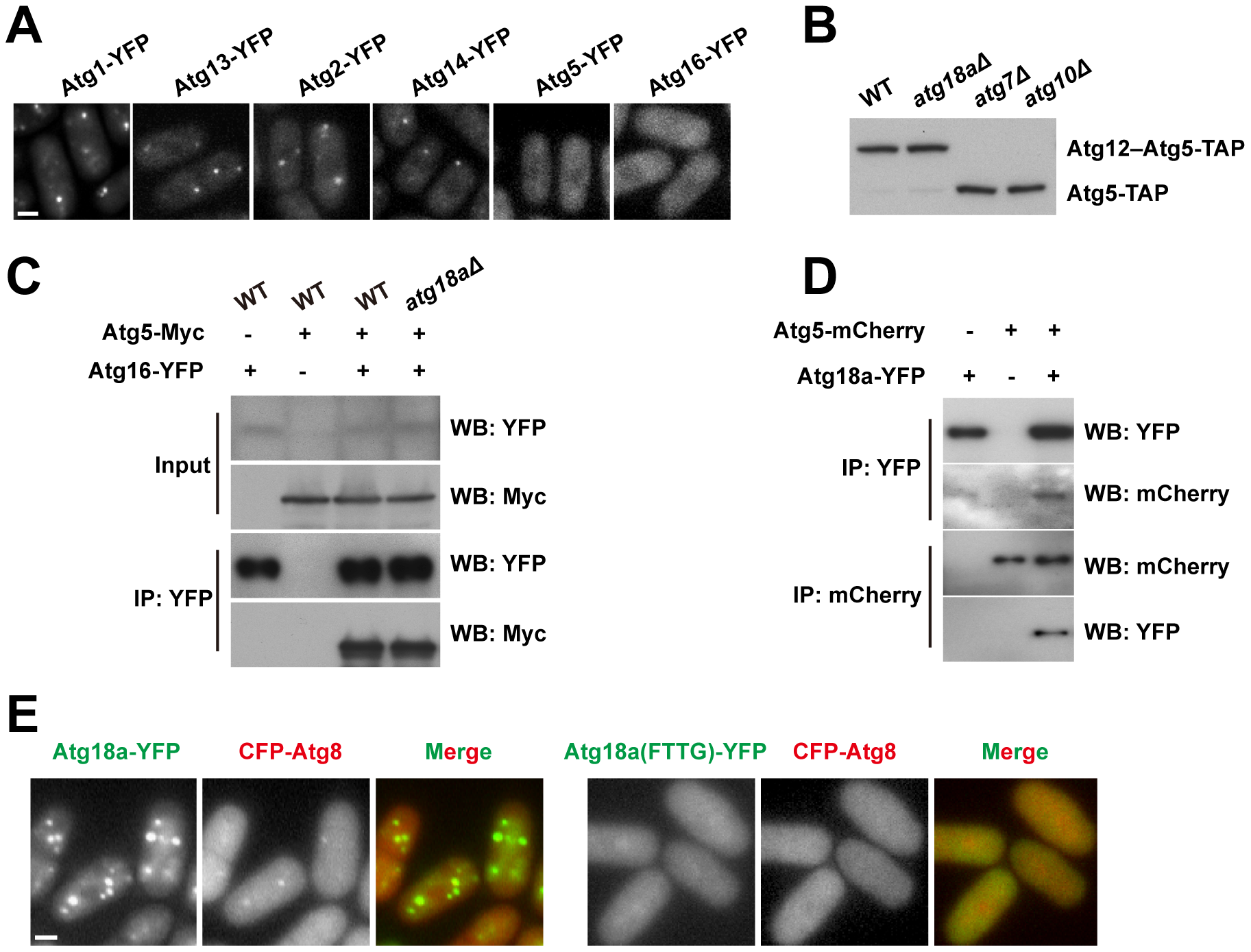 Atg18a is required for the PAS targeting of the Atg12–Atg5·Atg16 complex.
