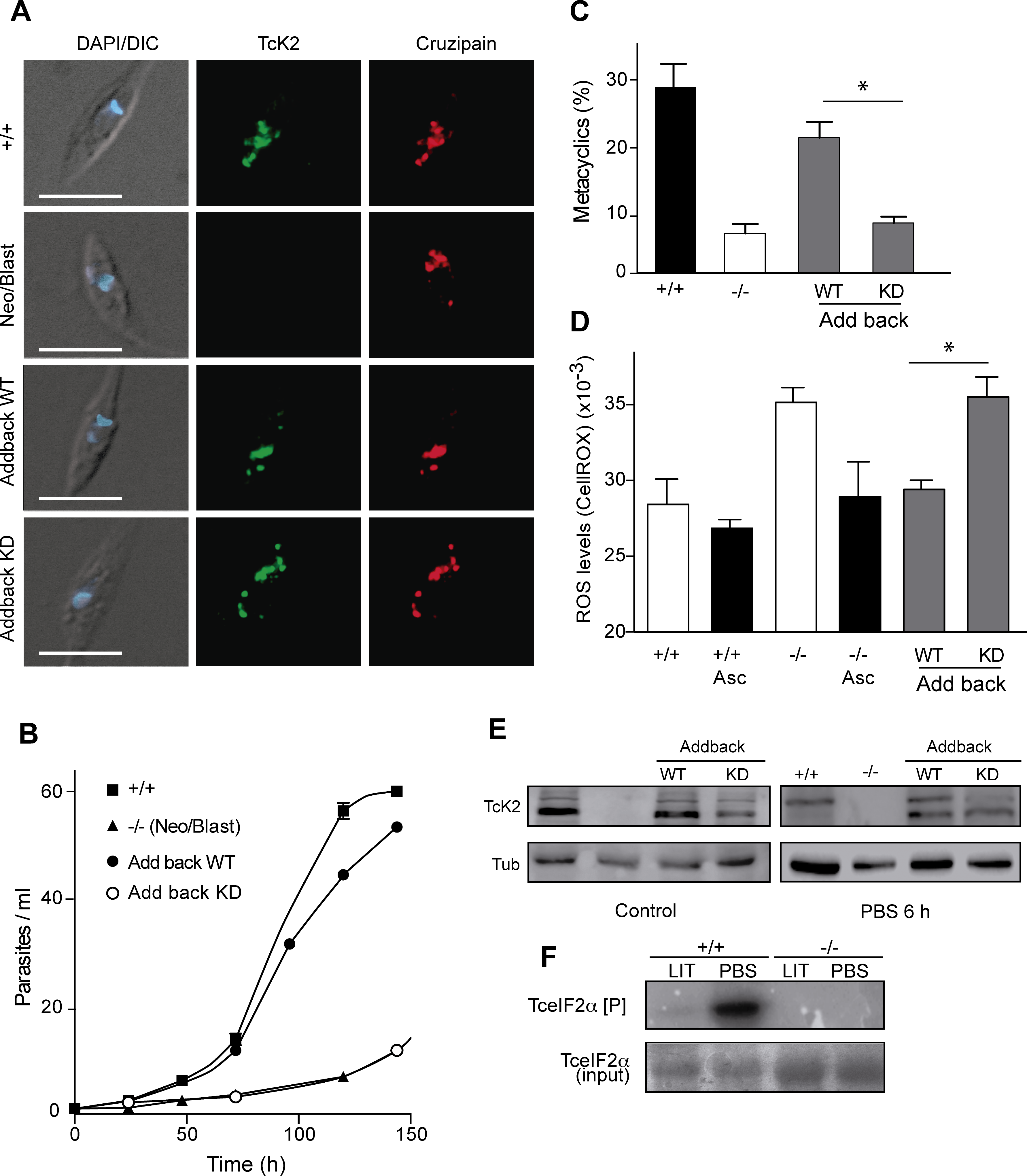 Wild type, but not the kinase dead TcK2 restores the knockout phenotypes.