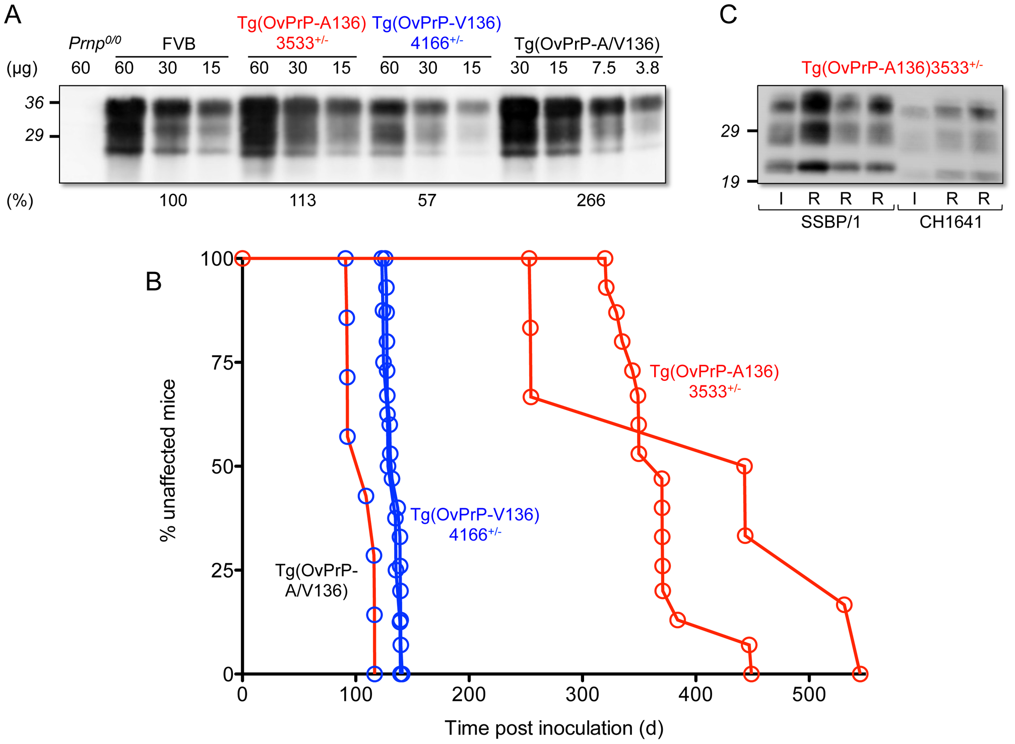 Characterization of transgenic mice expressing OvPrP-A136 and OvPrP-V136. A.
