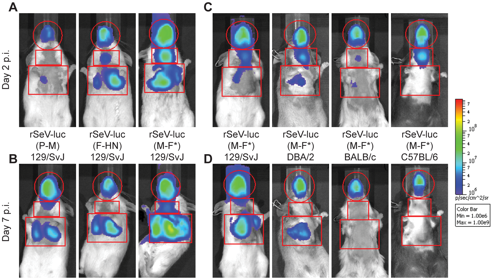 Non-invasive bioluminescence imaging of Sendai virus infection in the respiratory tracts of living mice.