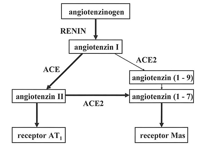 Dvě větve enzymové kaskády v cirkulaci (dle 4)