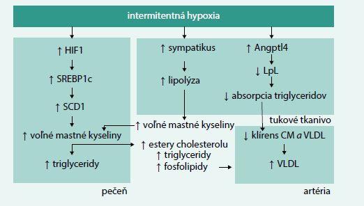 Schéma. Patofyziologické mechanizmy, ktoré vedú k dyslipidémii v dôsledku intermitentnej hypoxie. Upravené podľa [5,14,15]