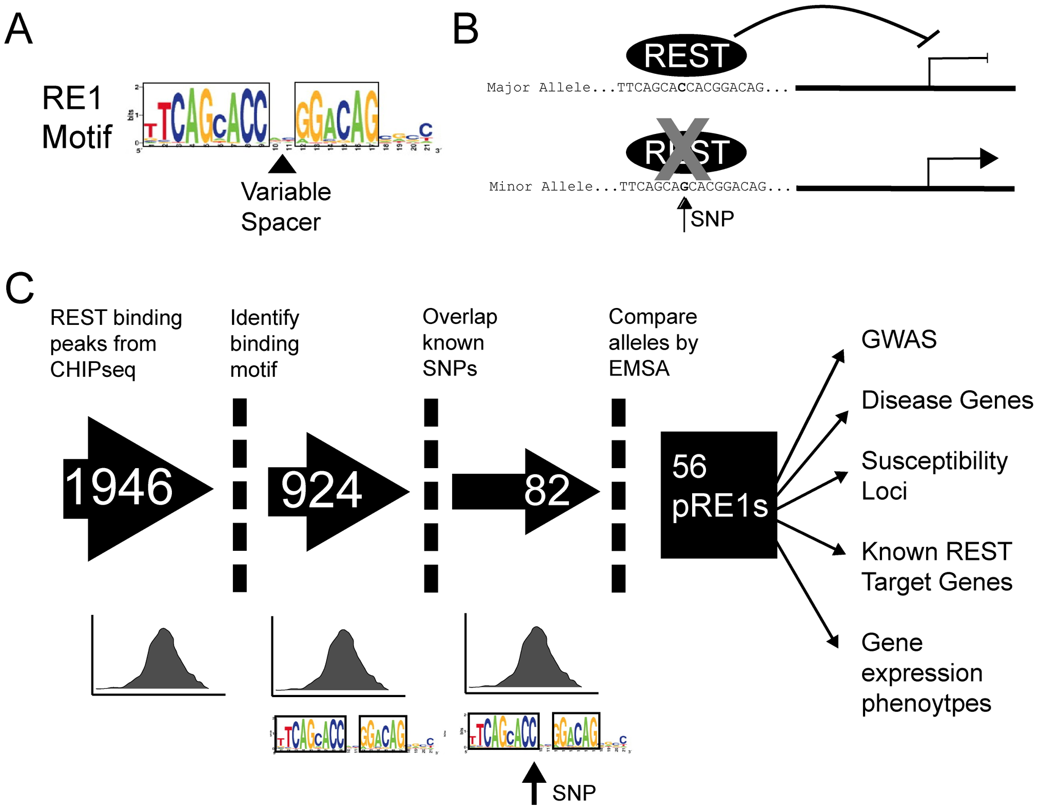 Experimental pipeline to discover SNPs that affect gene repression by REST.