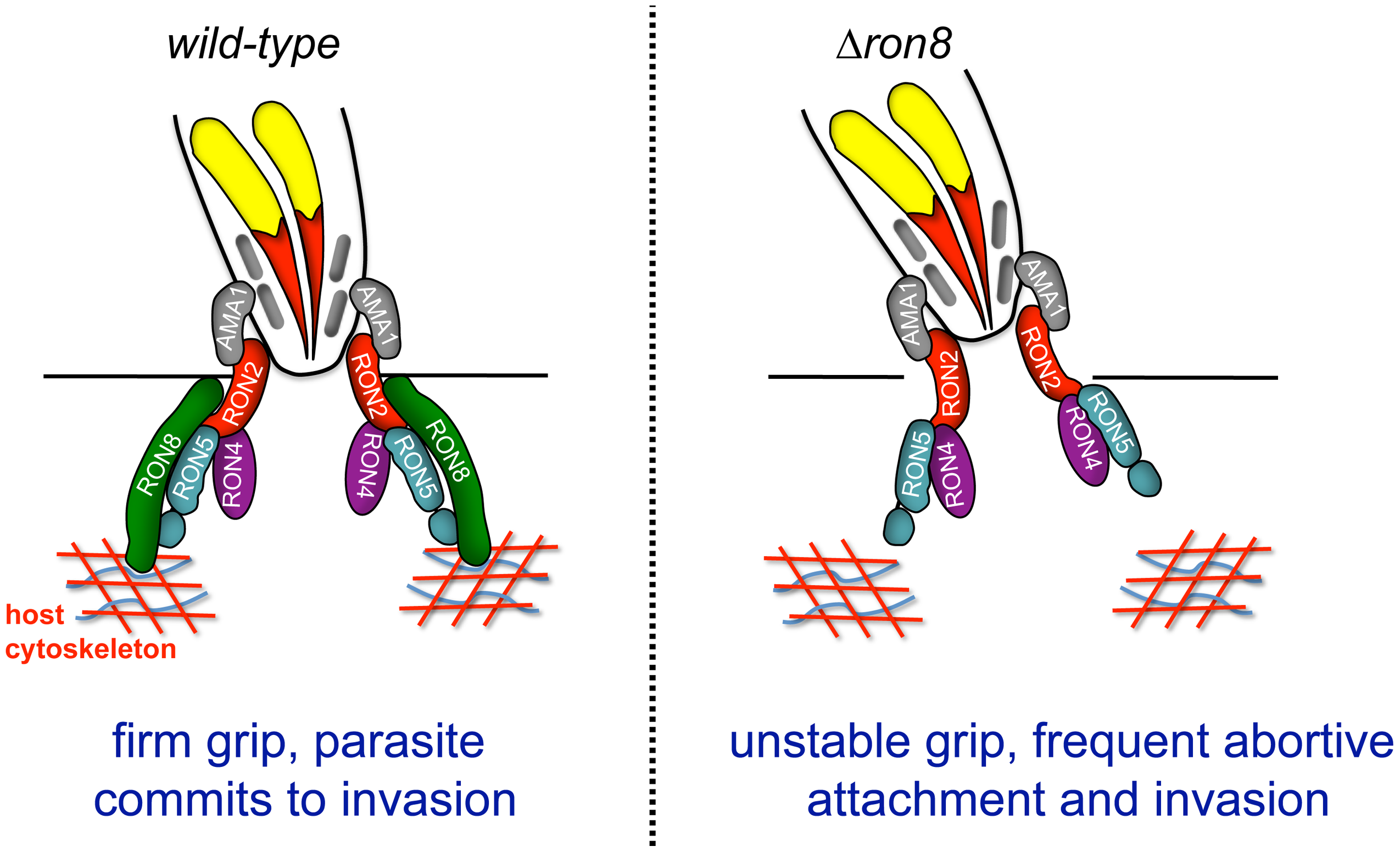 Model of the <i>Toxoplasma</i> moving junction in wildtype and Δ<i>ron8</i> parasites.