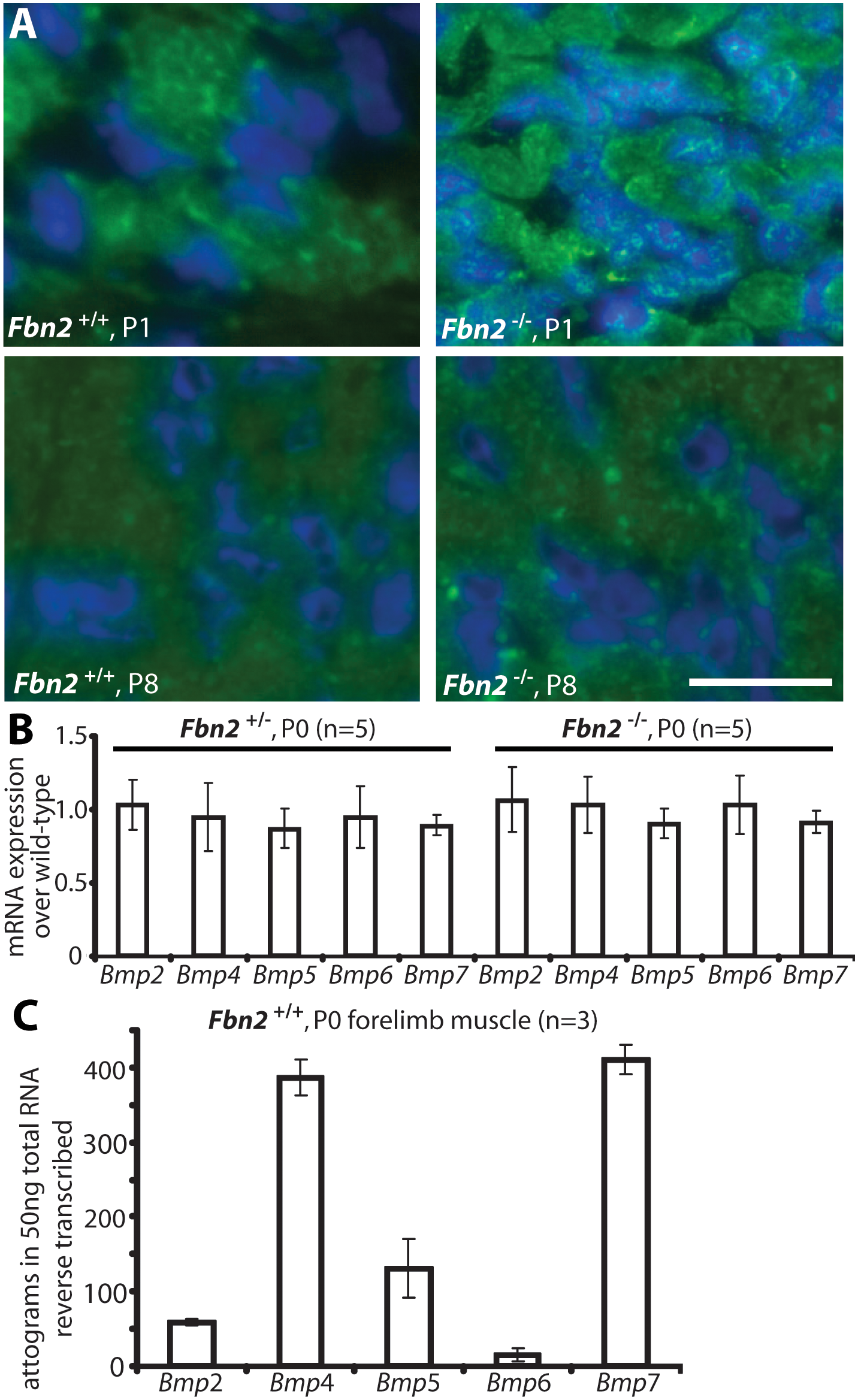 BMP signaling in wildtype and <i>Fbn2</i> null forearm muscle.