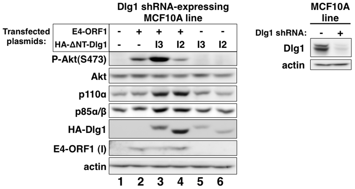 Only Dlg1-I3 mediates E4-ORF1-induced PI3K activation whereas both Dlg1-I3 and Dlg1-I2 mediate PI3K protein elevation.