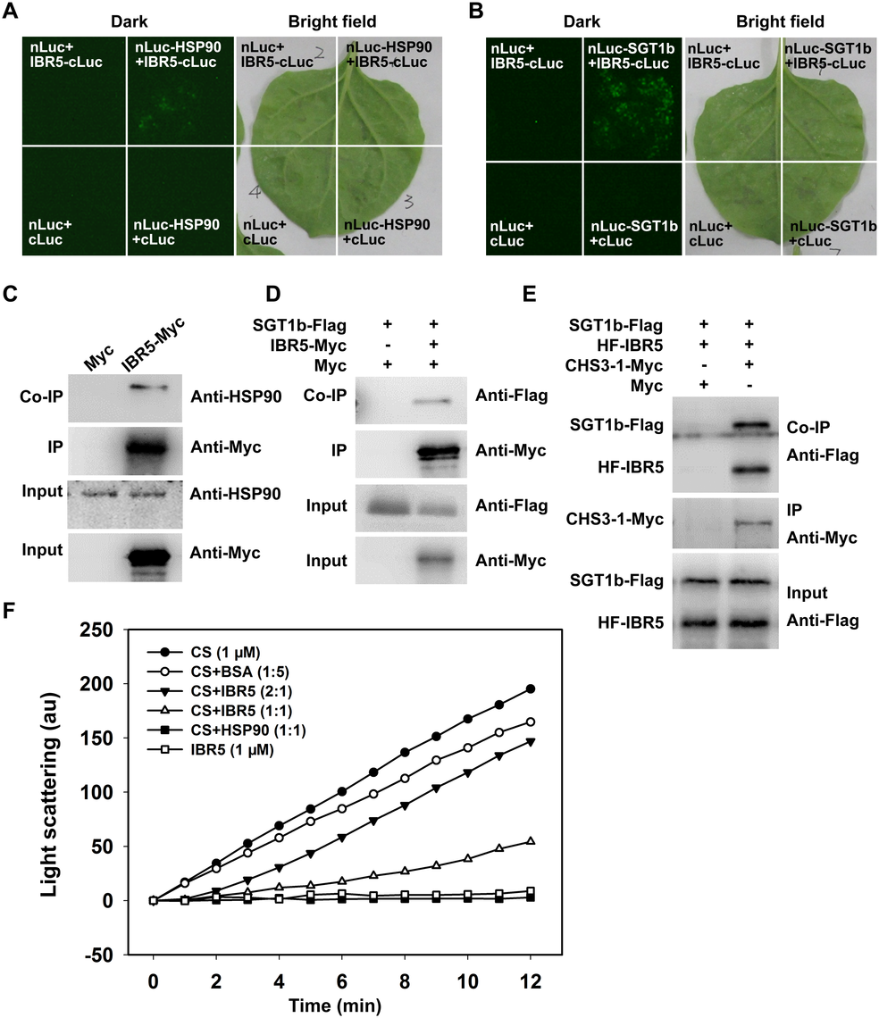 Interaction of IBR5 with HSP90 and SGT1b.