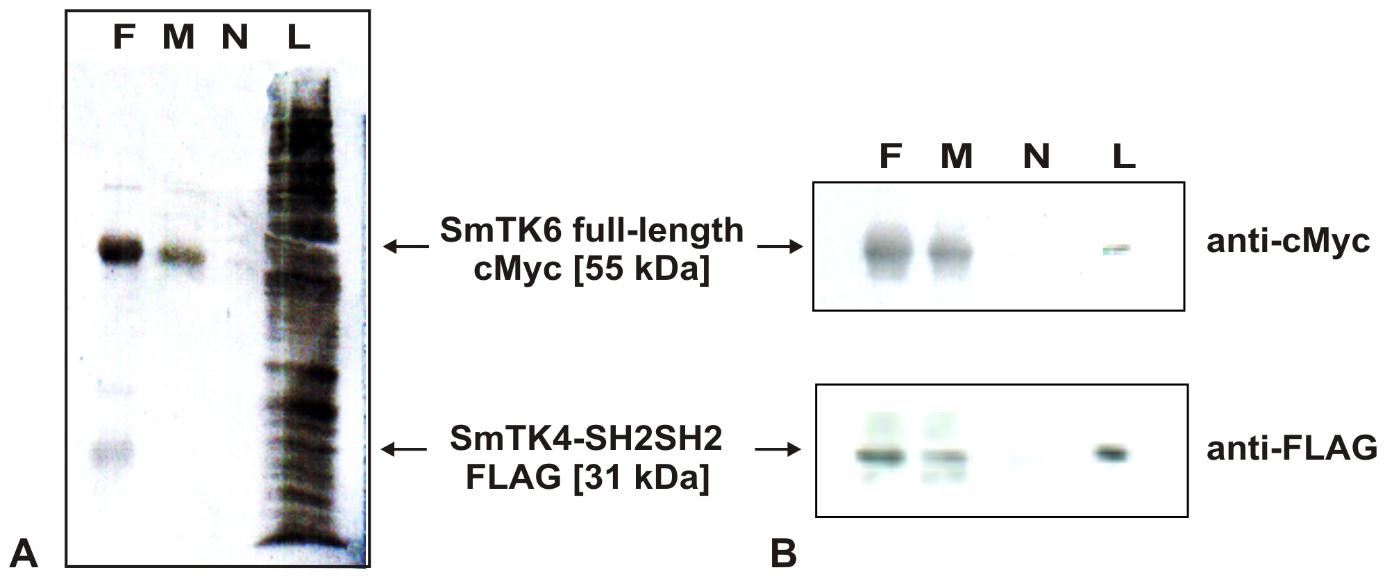 Co-immunoprecipitation of SmTK4 and SmTK6.