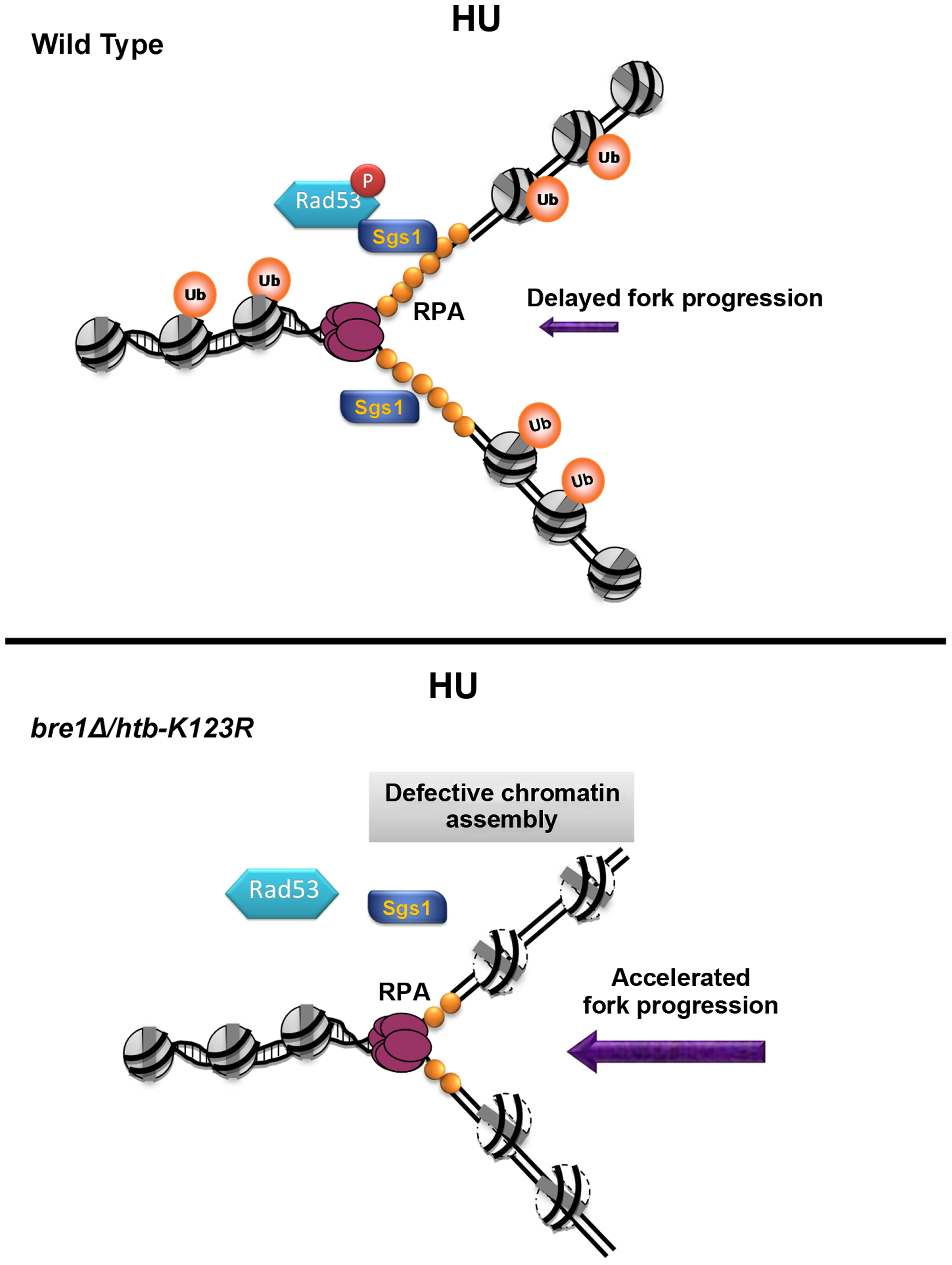 A model for how H2B mono-ubiquitylation facilitates fork stability under replication stress.
