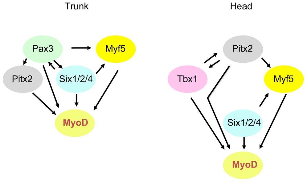 Schematic representation of genetic networks that activate <i>Myod</i> during myogenesis in the trunk and head.