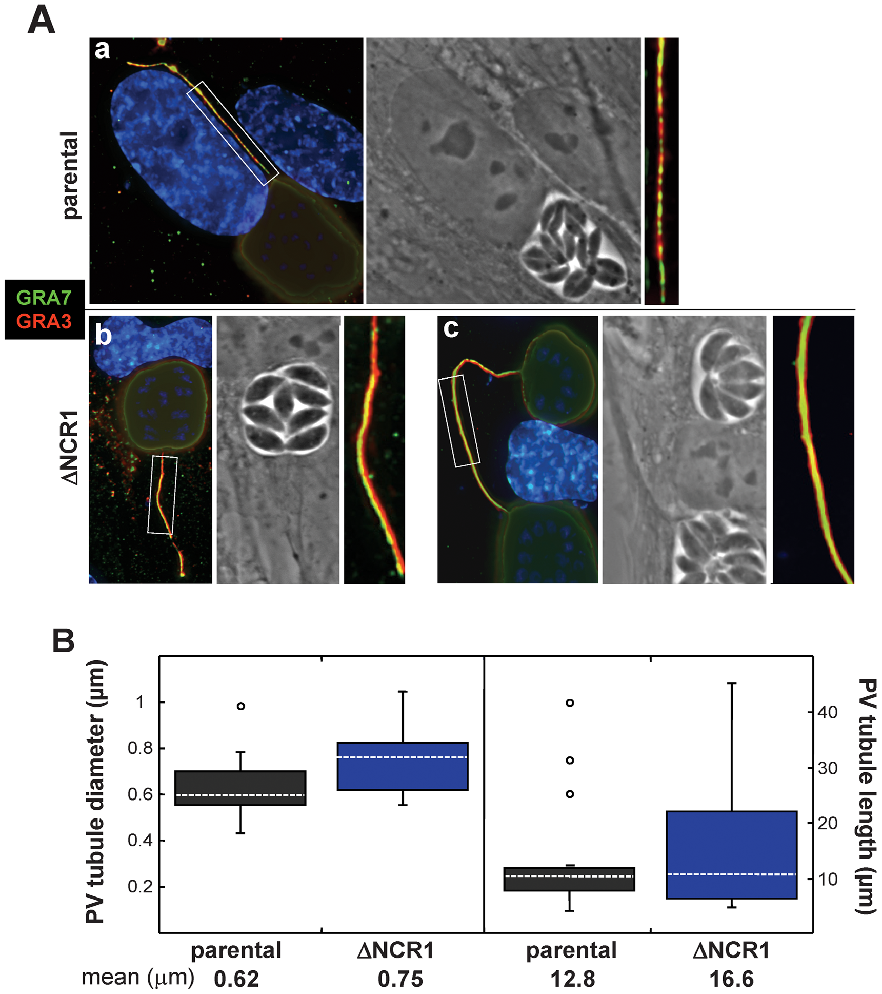 Characteristics of PV membranous extensions formed by the ΔNCR1 and parental strains.