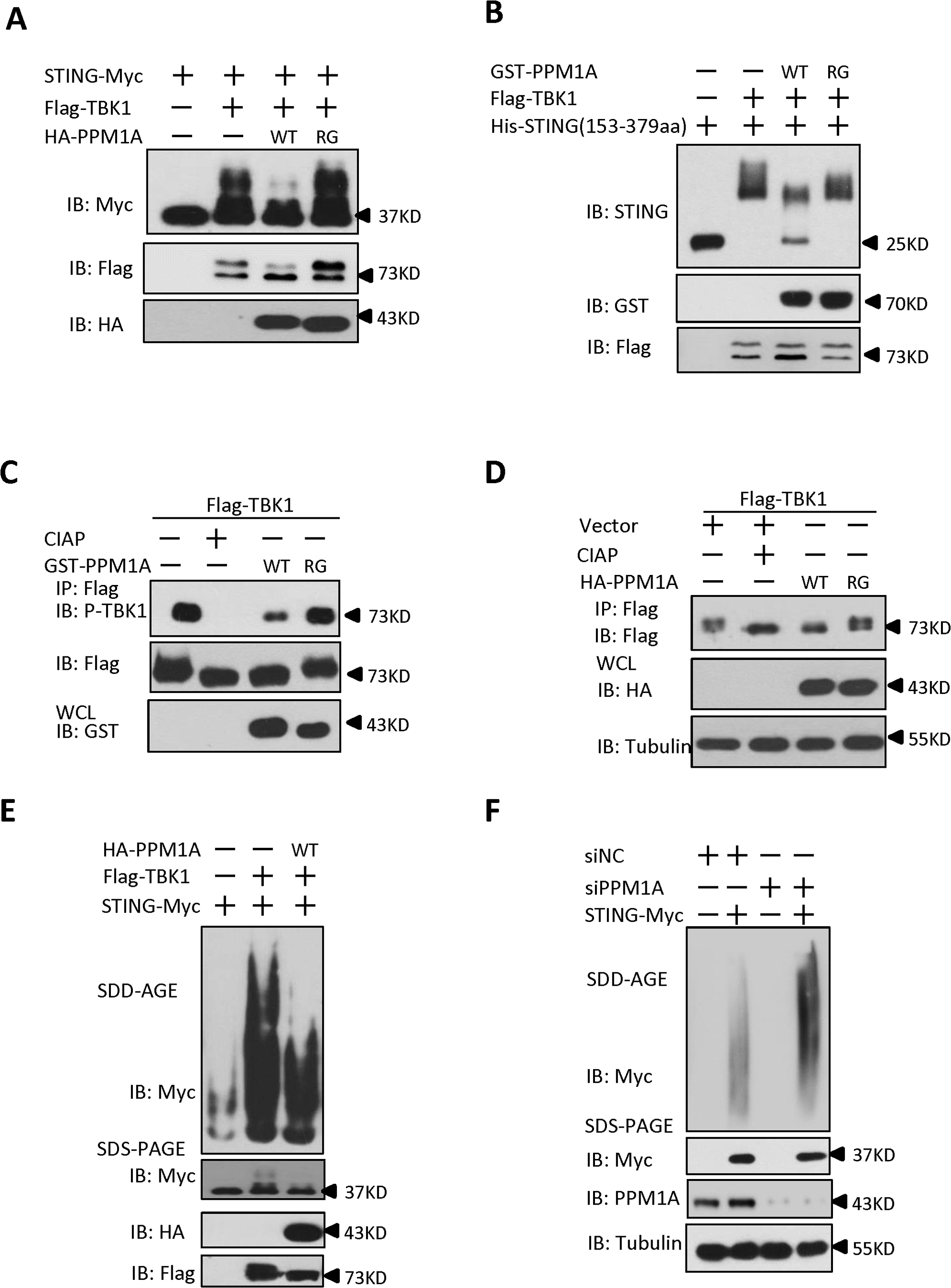 PPM1A directly dephosphorylates STING and TBK1 and prevents STING aggregation.