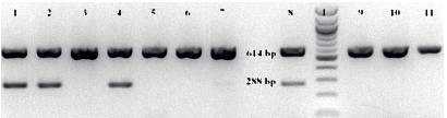 Výsledek gelové elektroforézy produktů PCR Fig 2. The result of gel electrophoresis of PCR products