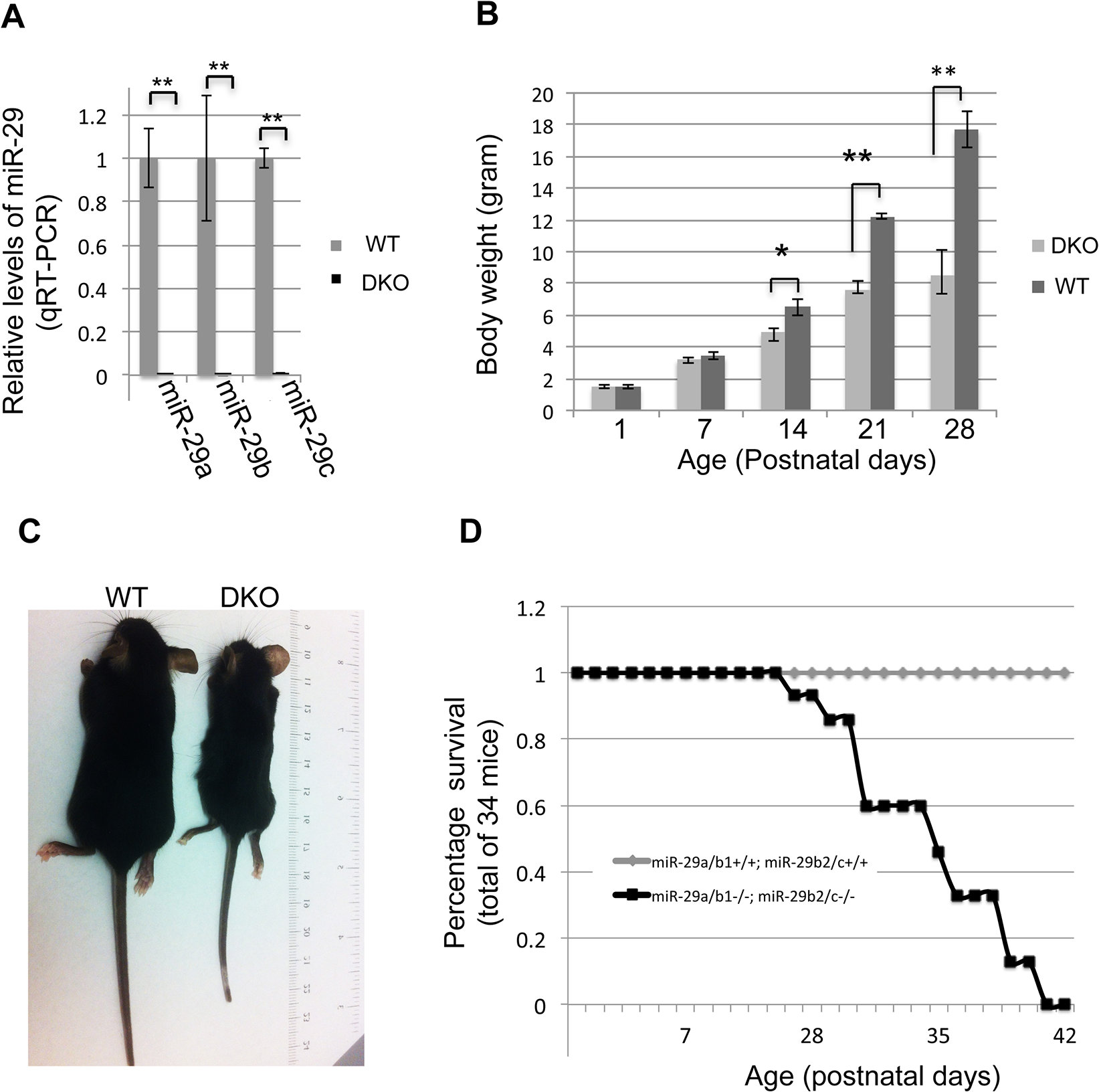 Postnatal growth retardation and lethality of miR-29 null mice.
