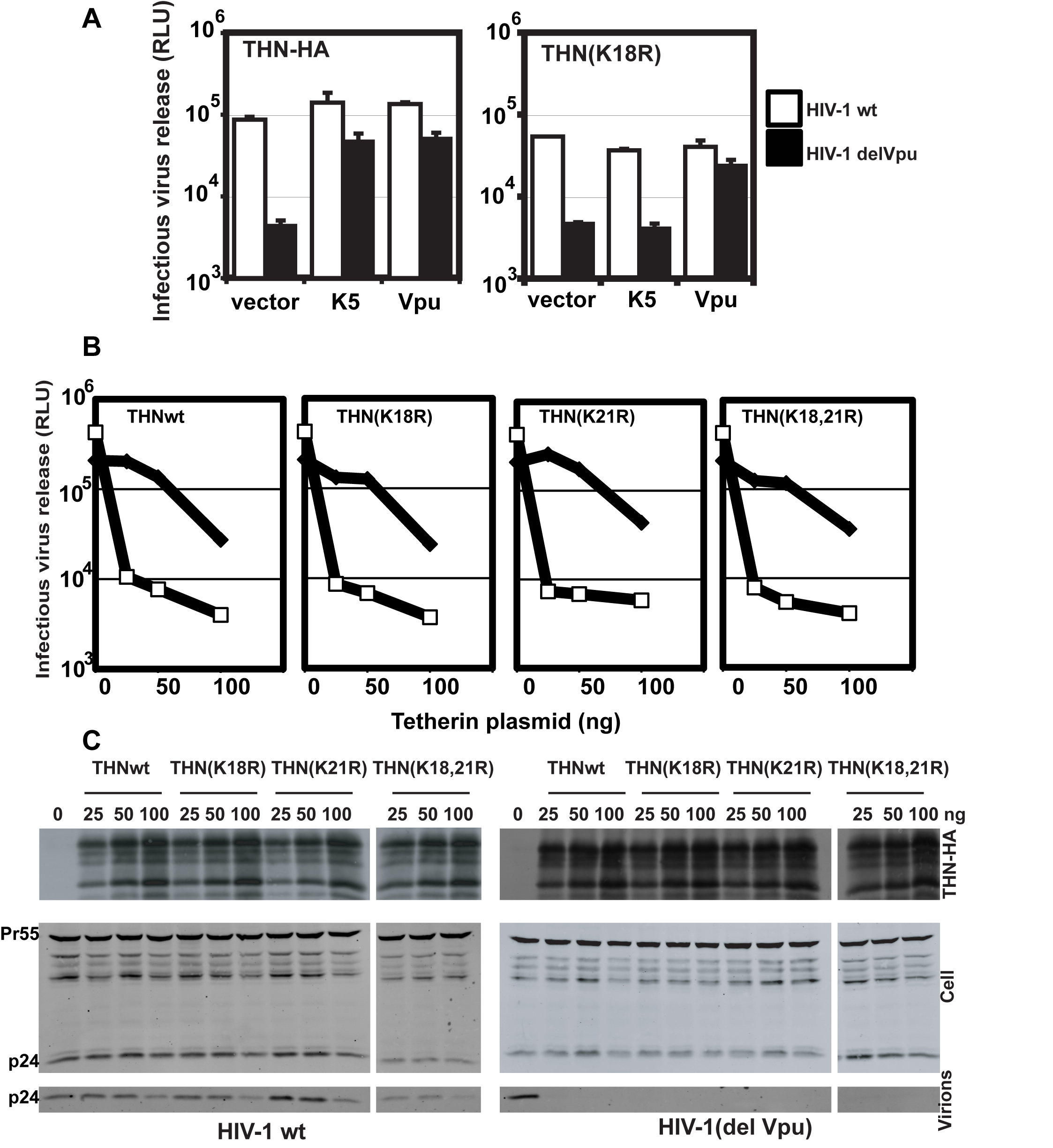 K18 is required for tetherin antagonism by K5 but both cytoplasmic tail lysines are dispensable for Vpu-mediated antagonism.