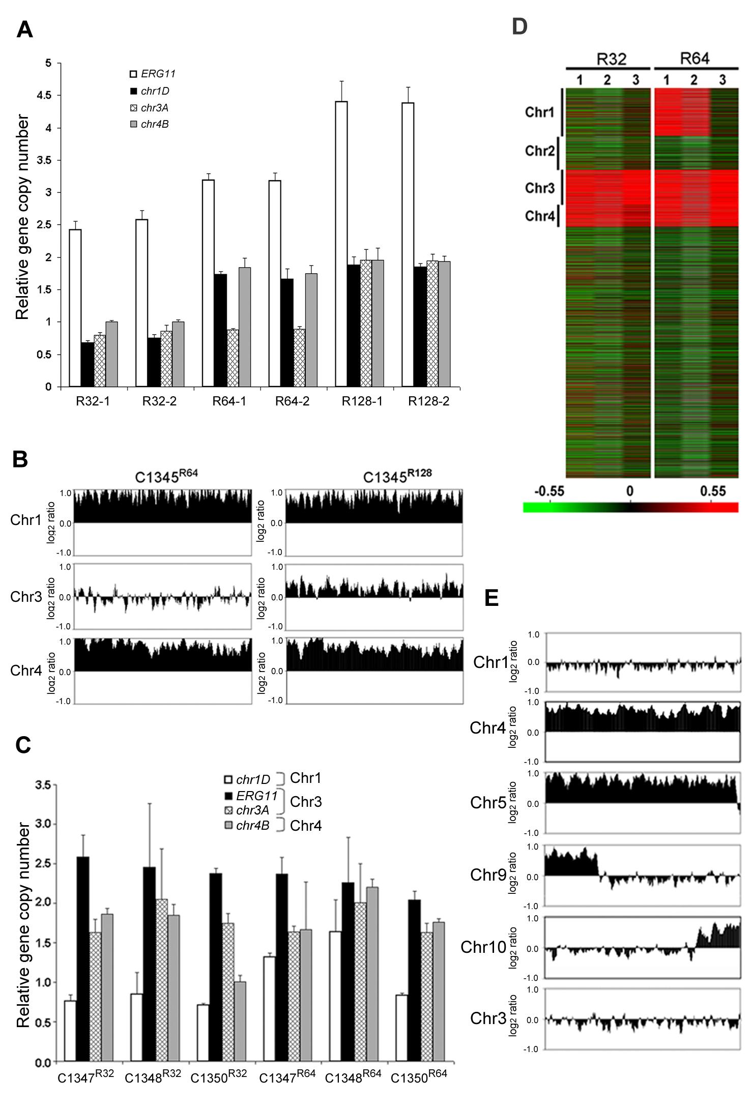 The importance of <i>ERG11</i> and <i>AFR1</i> in Chr1 duplication.