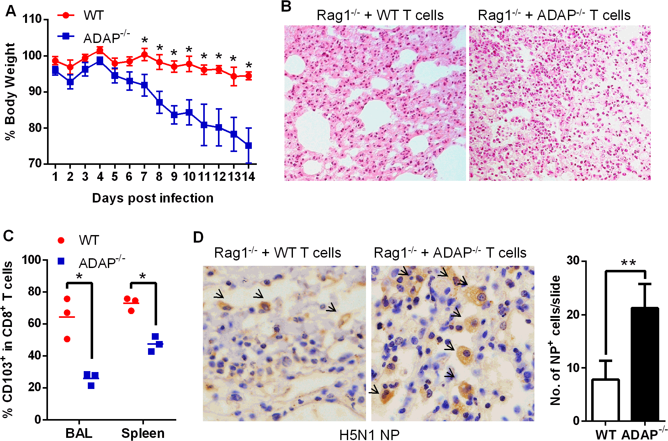 Rag1<sup>-/-</sup> mice receiving ADAP<sup>-/-</sup> T cells reduces protection in response to H5N1 virus infection.