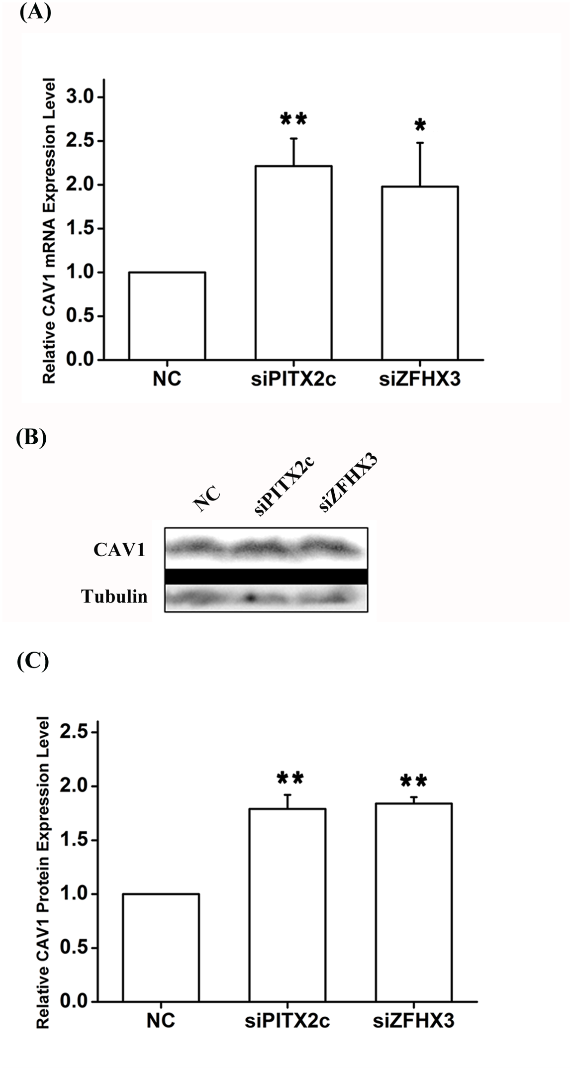 <i>PITX2c</i> and <i>ZFHX3</i> negatively regulate expression of the <i>CAV1</i> gene.