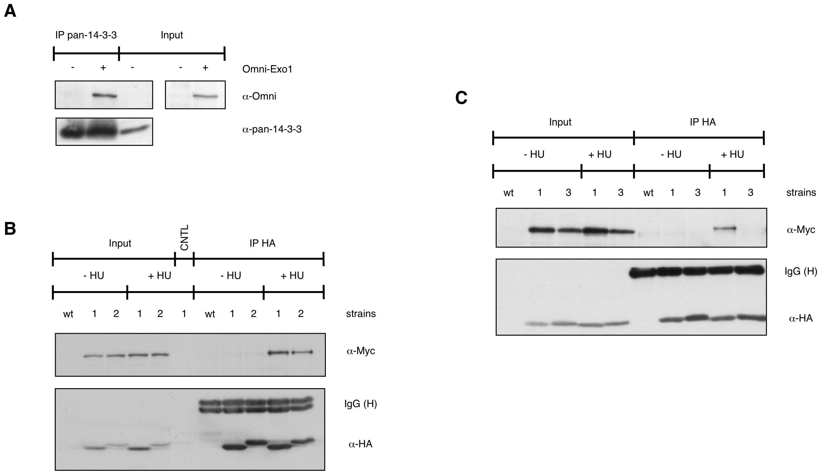 EXO1 interacts with 14-3-3 proteins.
